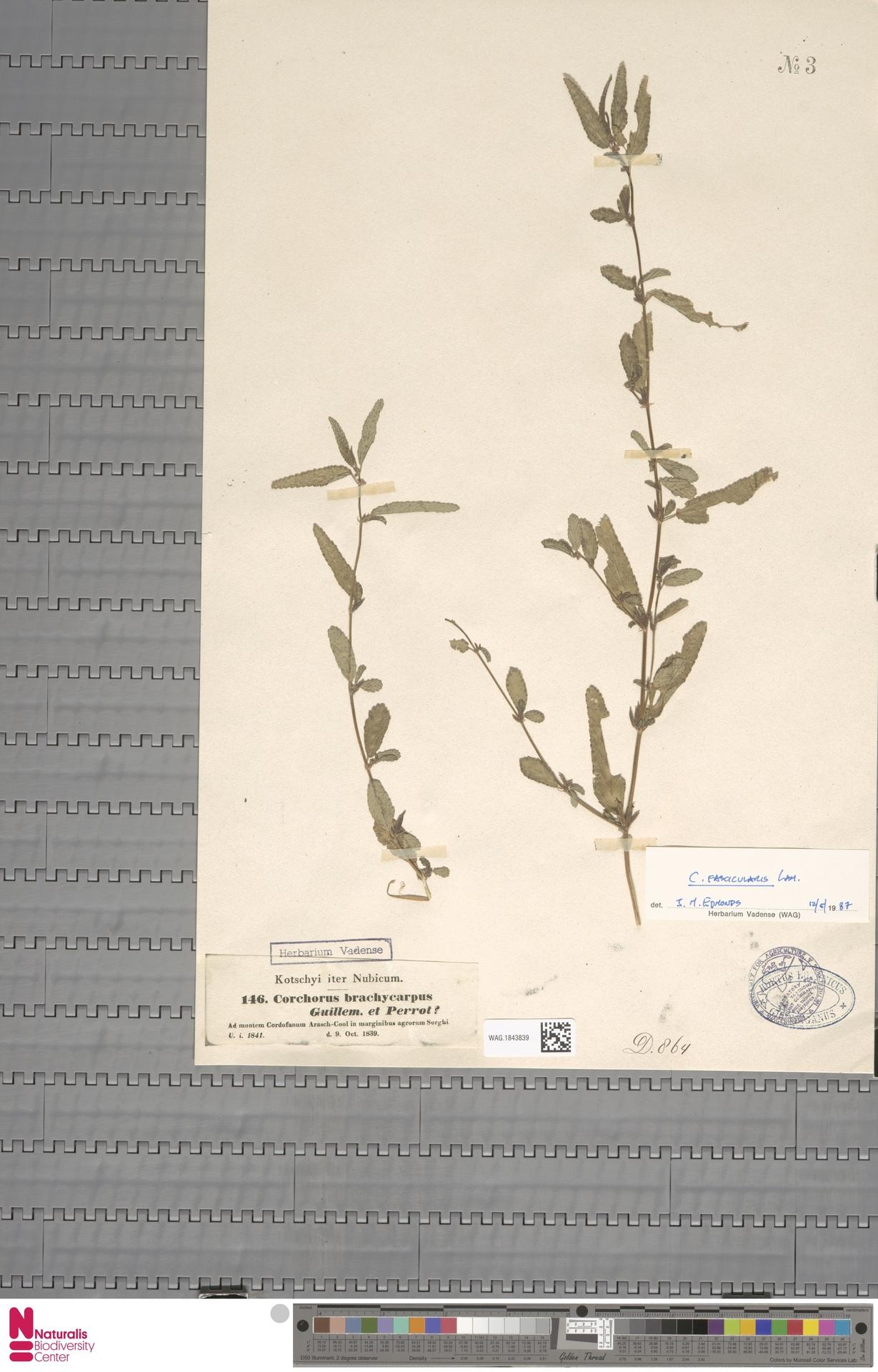 WAG.1843839 | Corchorus fascicularis Lam.