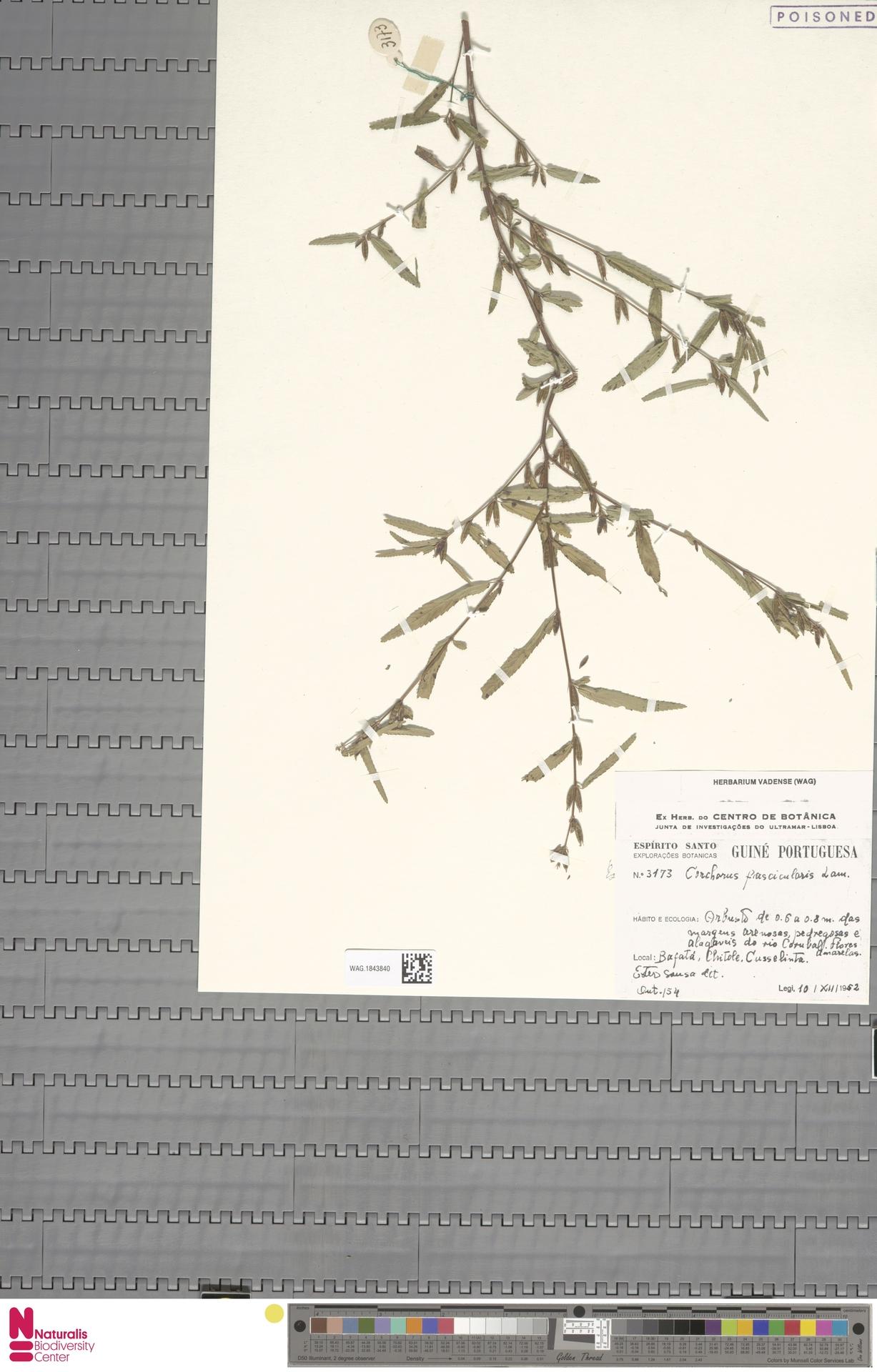 WAG.1843840 | Corchorus fascicularis Lam.