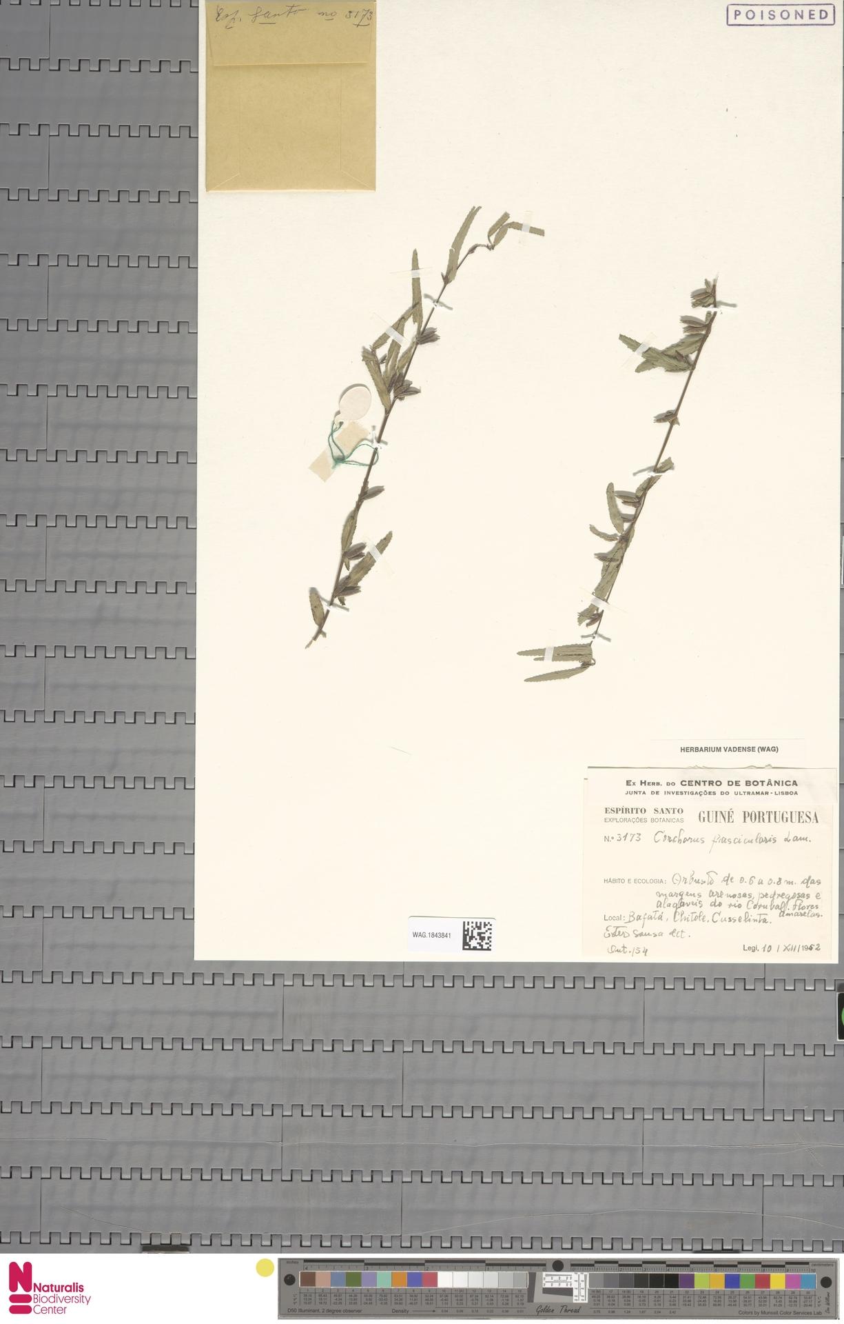 WAG.1843841 | Corchorus fascicularis Lam.