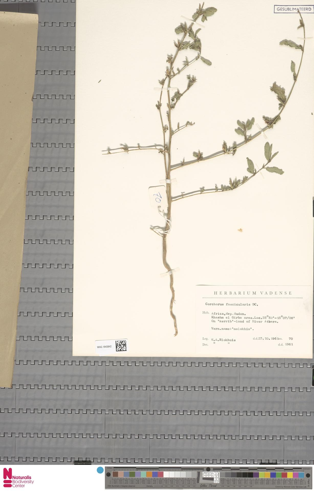WAG.1843842 | Corchorus fascicularis Lam.