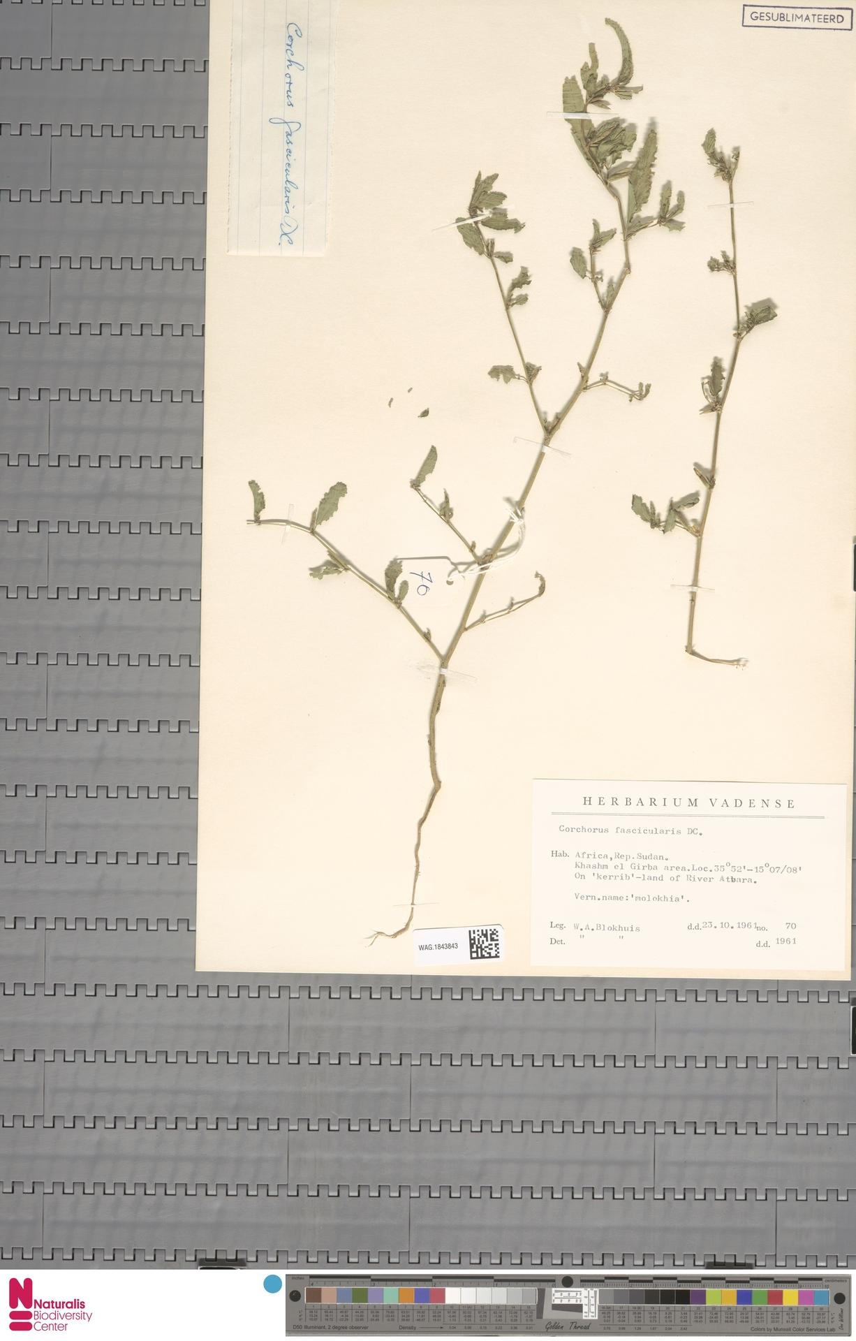 WAG.1843843 | Corchorus fascicularis Lam.