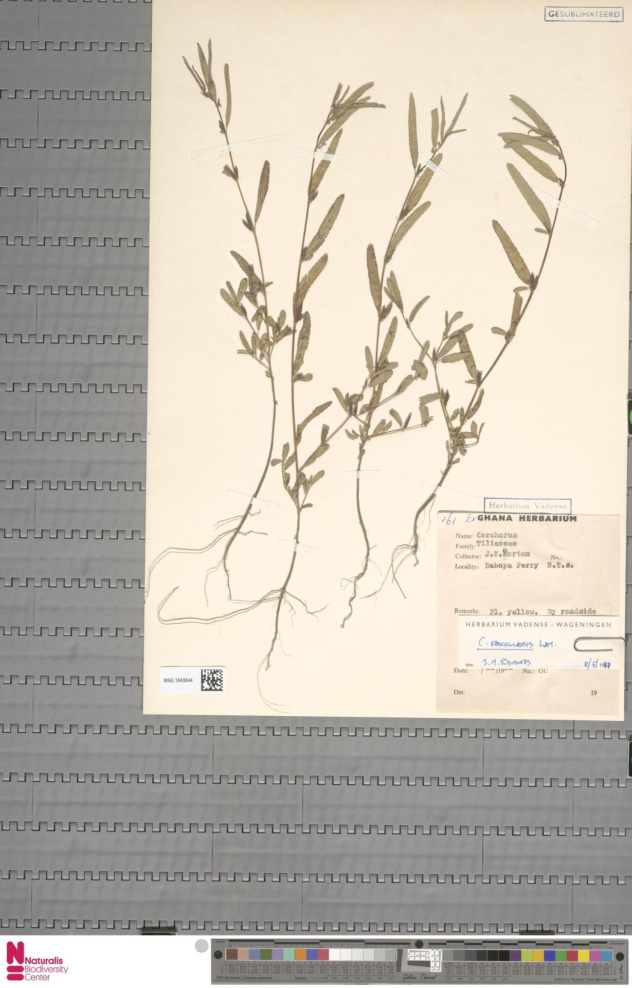WAG.1843844 | Corchorus fascicularis Lam.