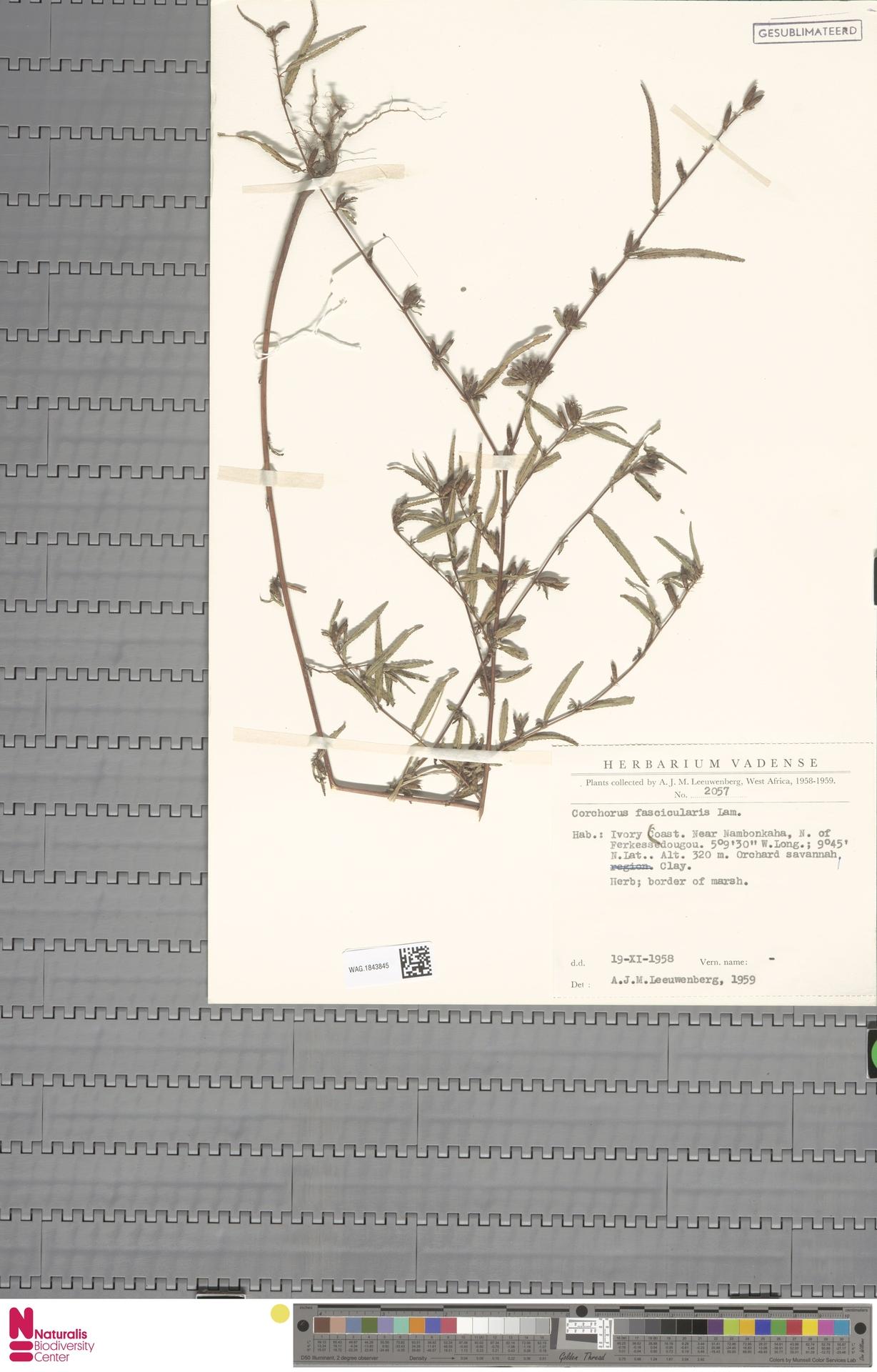 WAG.1843845 | Corchorus fascicularis Lam.