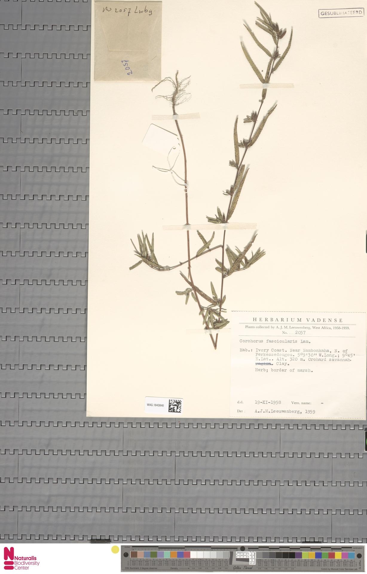 WAG.1843846 | Corchorus fascicularis Lam.