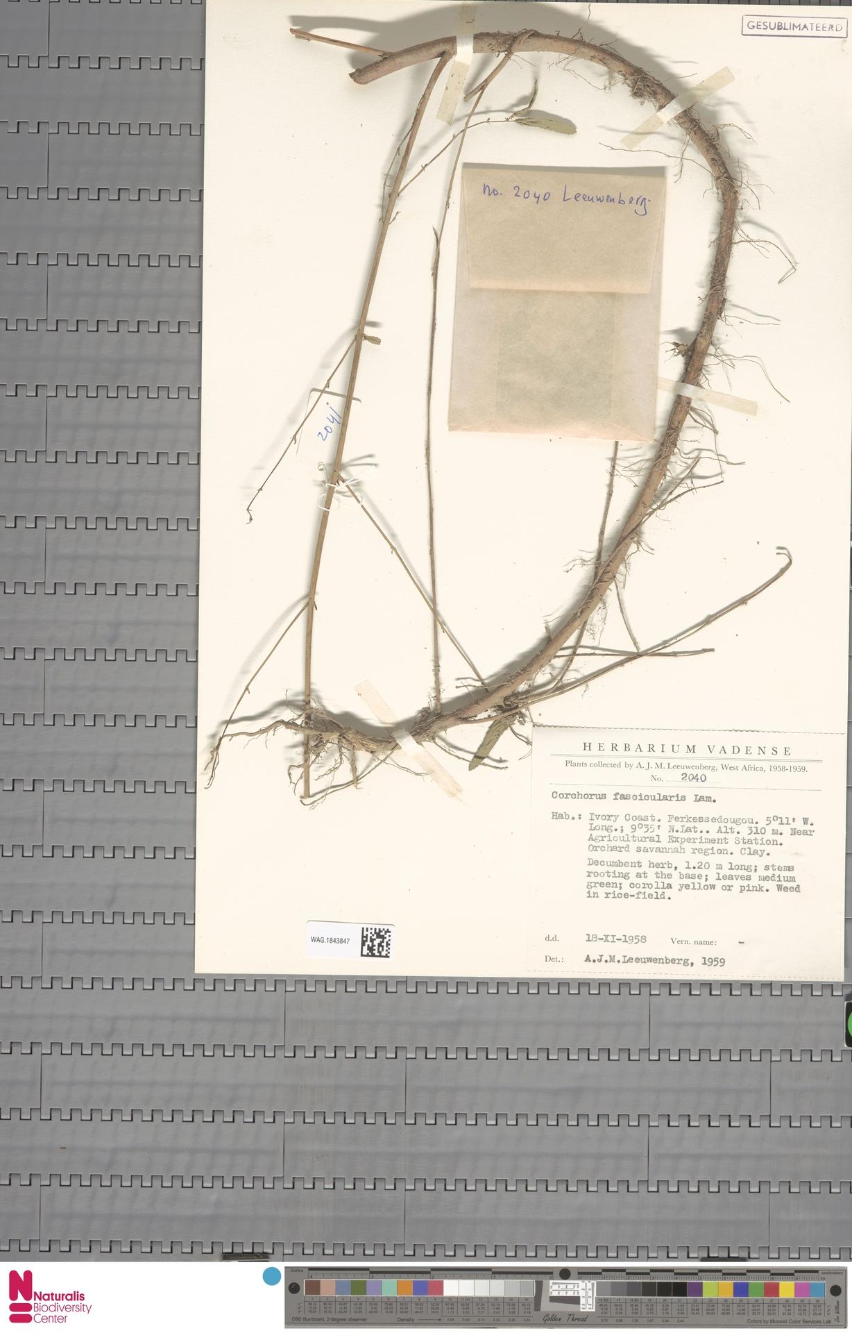 WAG.1843847 | Corchorus fascicularis Lam.