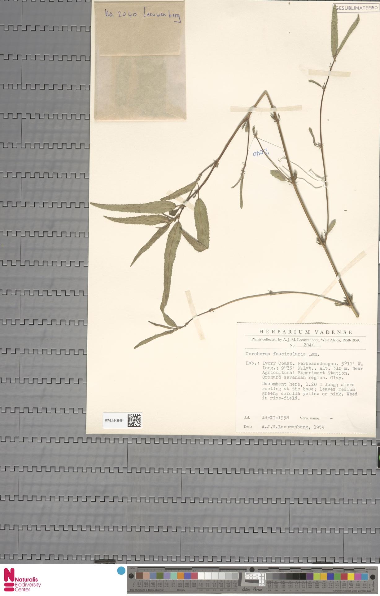 WAG.1843848 | Corchorus fascicularis Lam.
