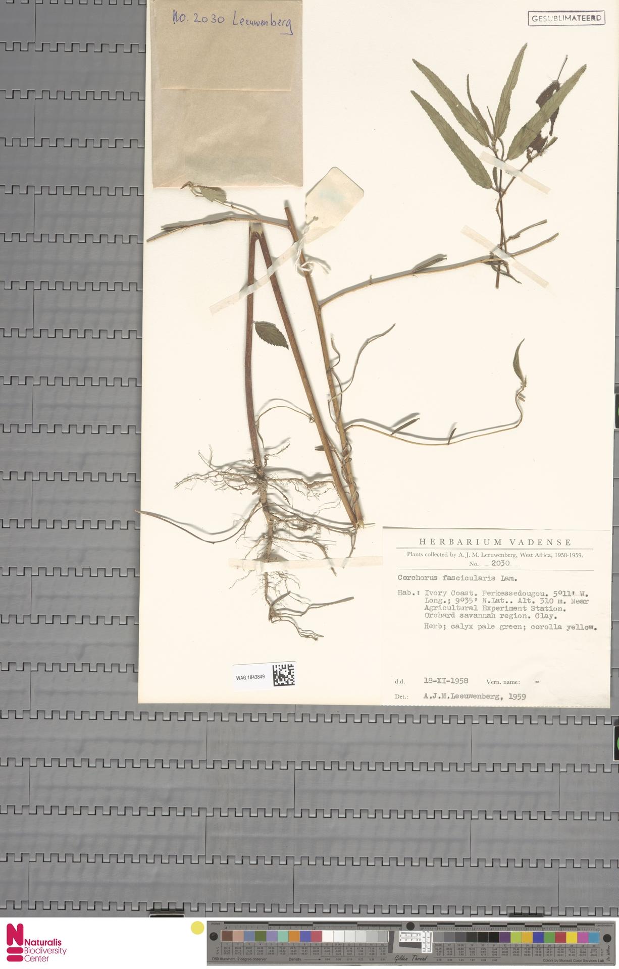 WAG.1843849 | Corchorus fascicularis Lam.