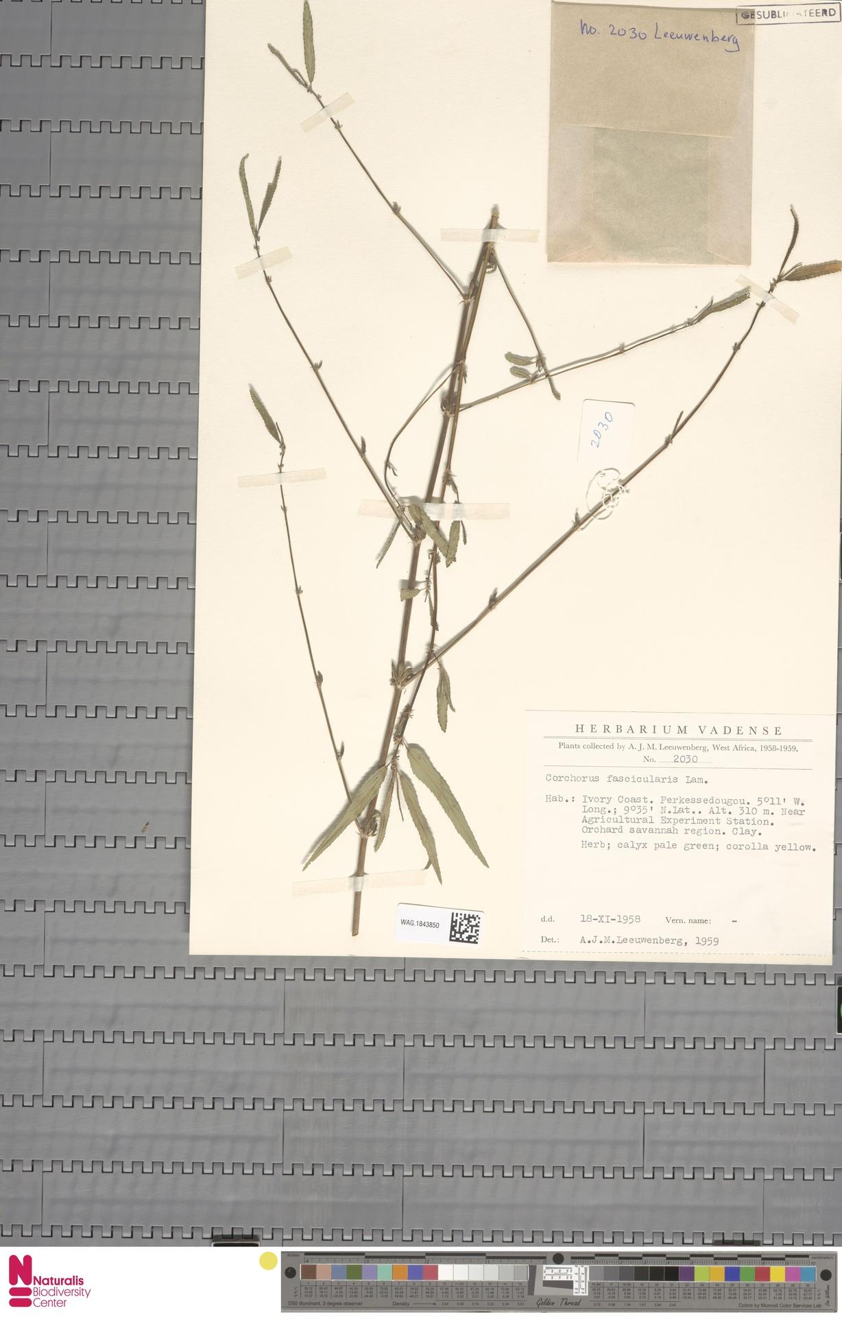 WAG.1843850 | Corchorus fascicularis Lam.