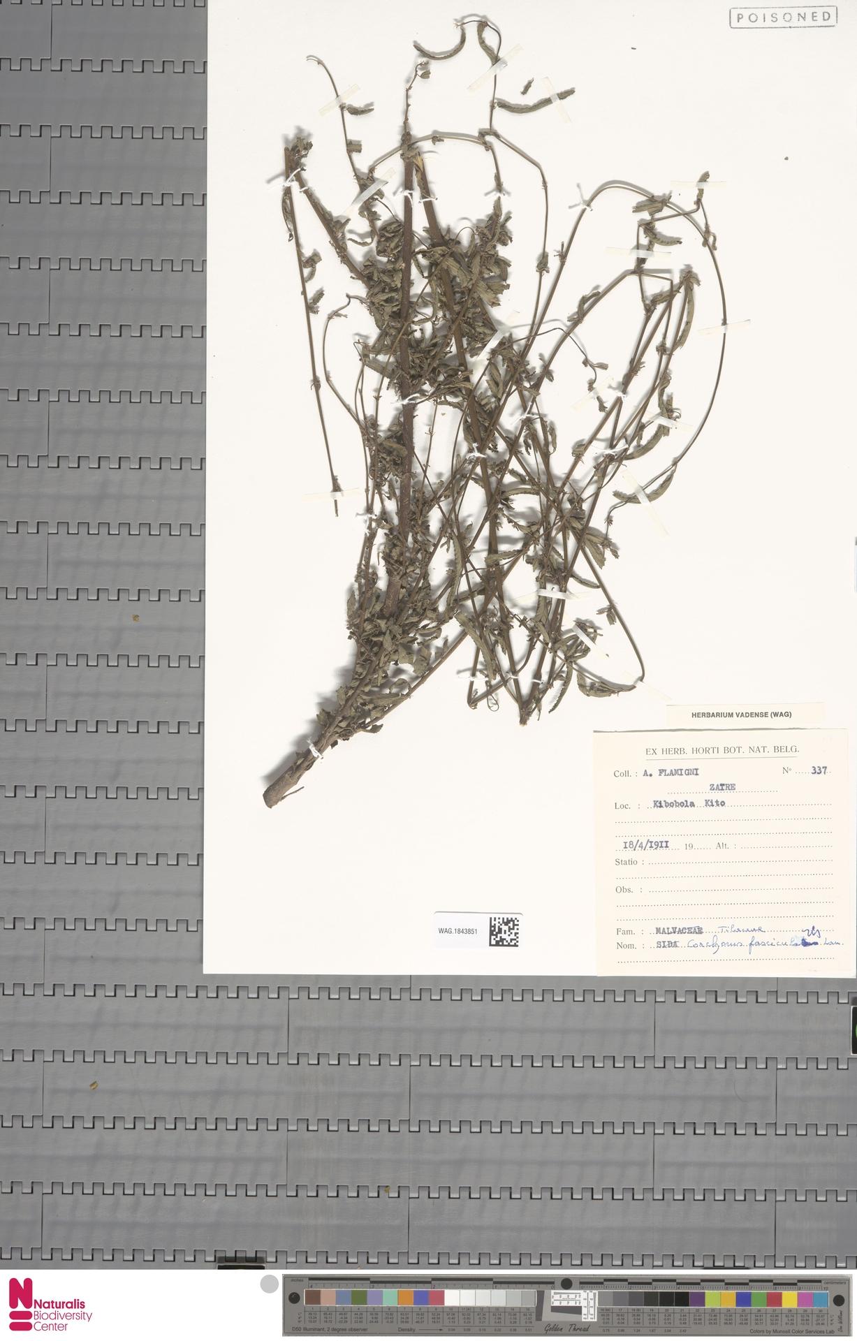 WAG.1843851 | Corchorus fascicularis Lam.