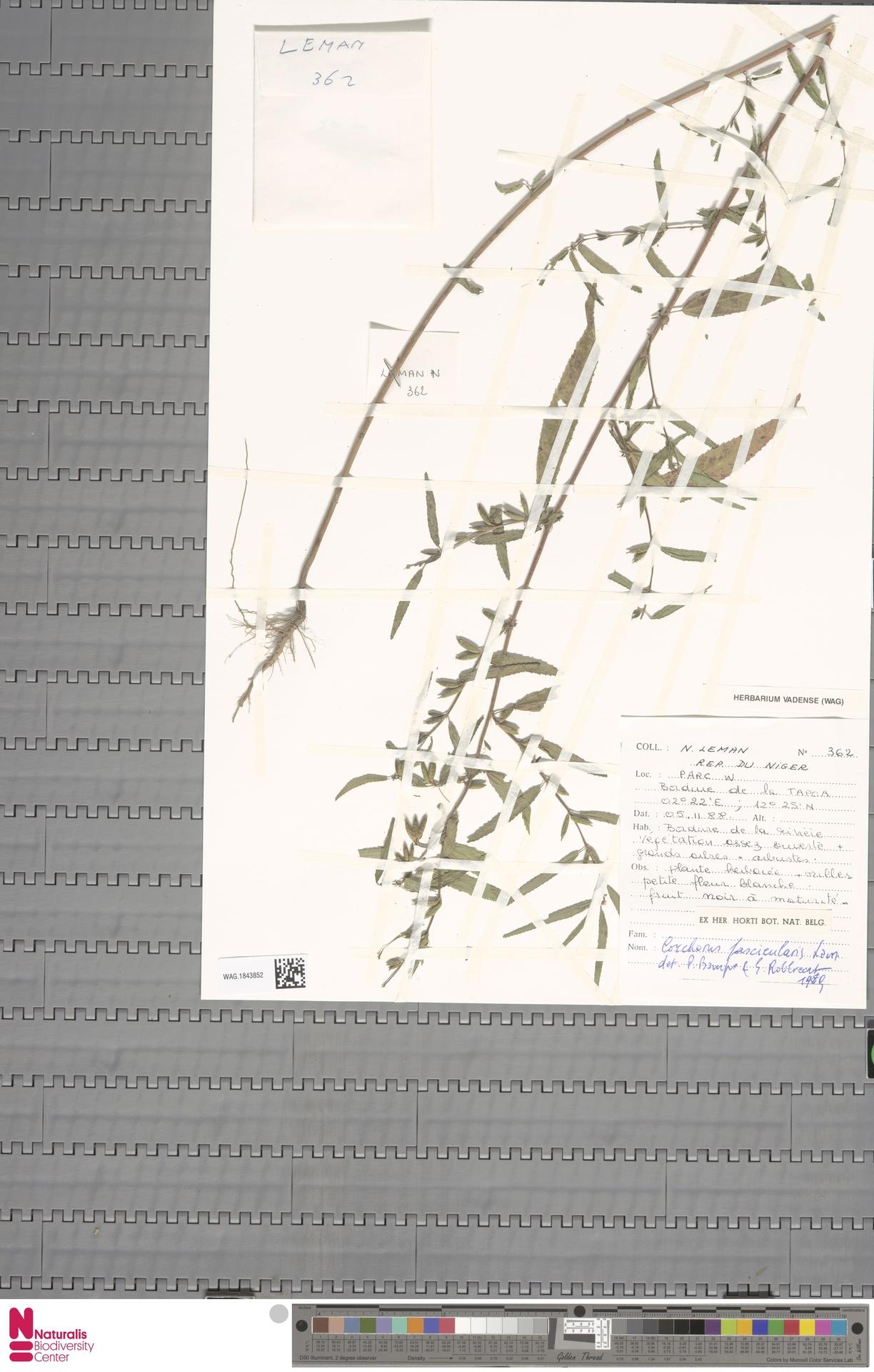 WAG.1843852 | Corchorus fascicularis Lam.