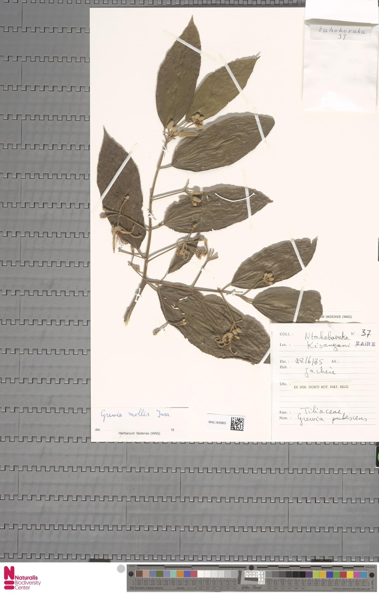 WAG.1843853 | Corchorus fascicularis Lam.