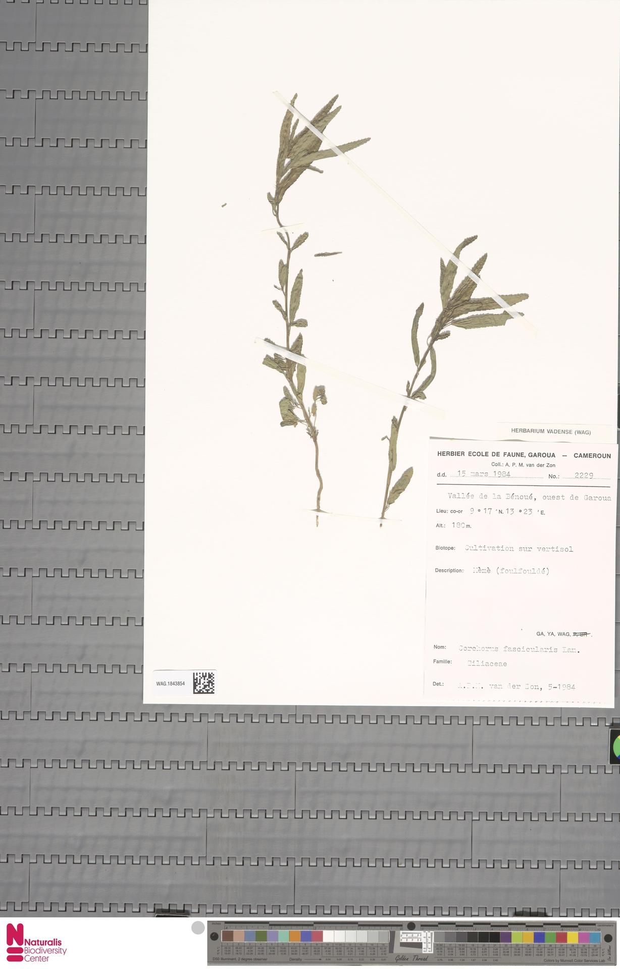WAG.1843854 | Corchorus fascicularis Lam.