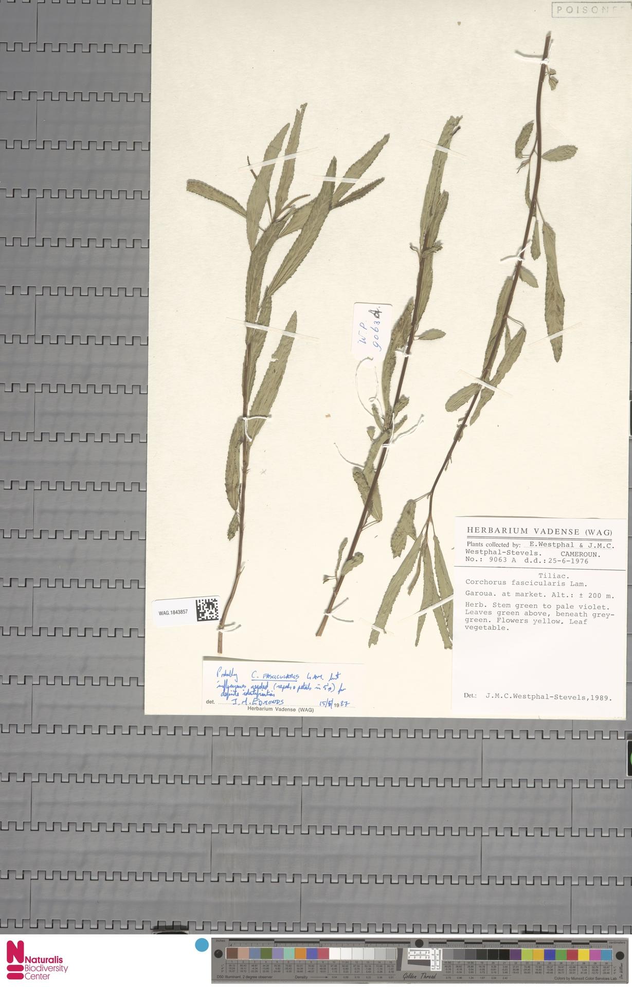 WAG.1843857 | Corchorus fascicularis Lam.