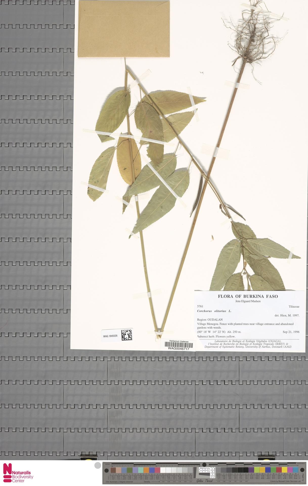 WAG.1845526 | Corchorus olitorius L.