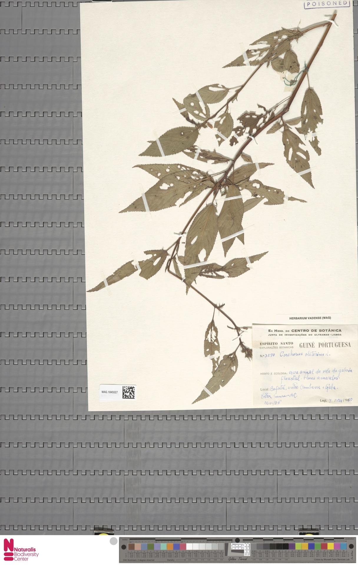 WAG.1845527 | Corchorus olitorius L.