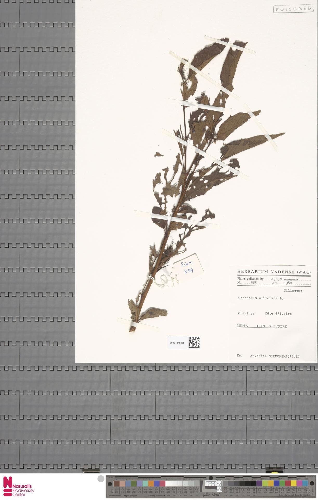 WAG.1845528 | Corchorus olitorius L.