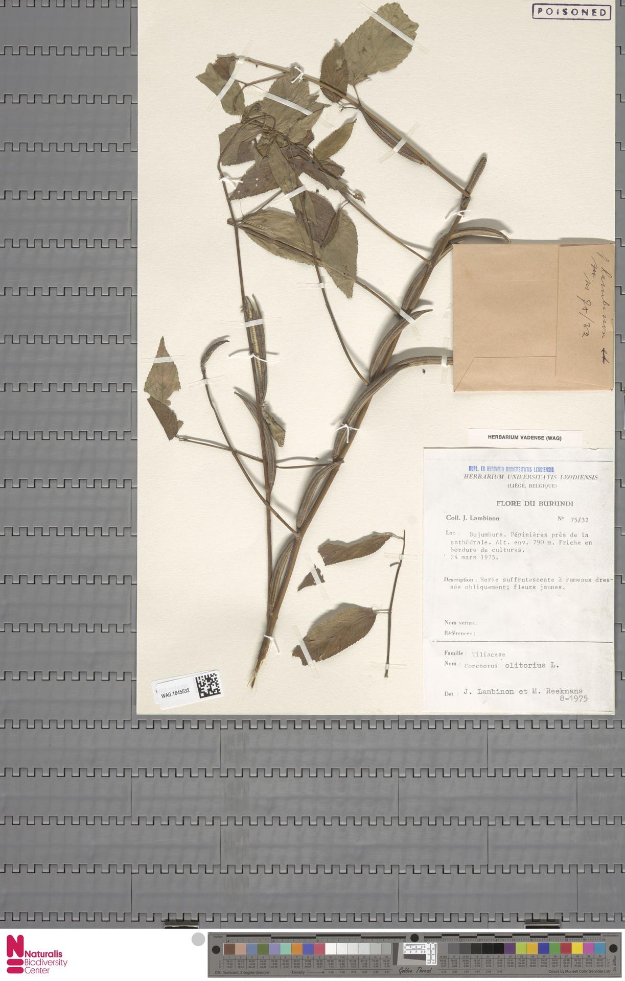 WAG.1845532 | Corchorus olitorius L.