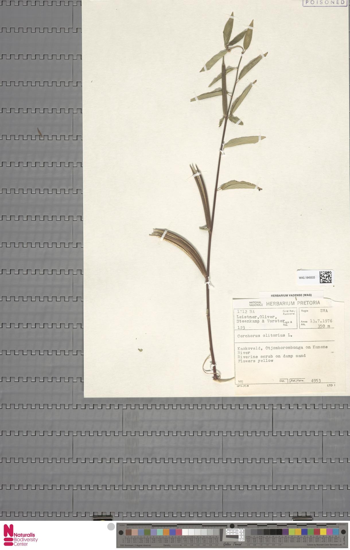 WAG.1845533 | Corchorus olitorius L.