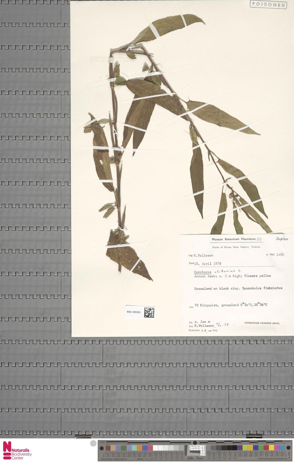 WAG.1845534 | Corchorus olitorius L.