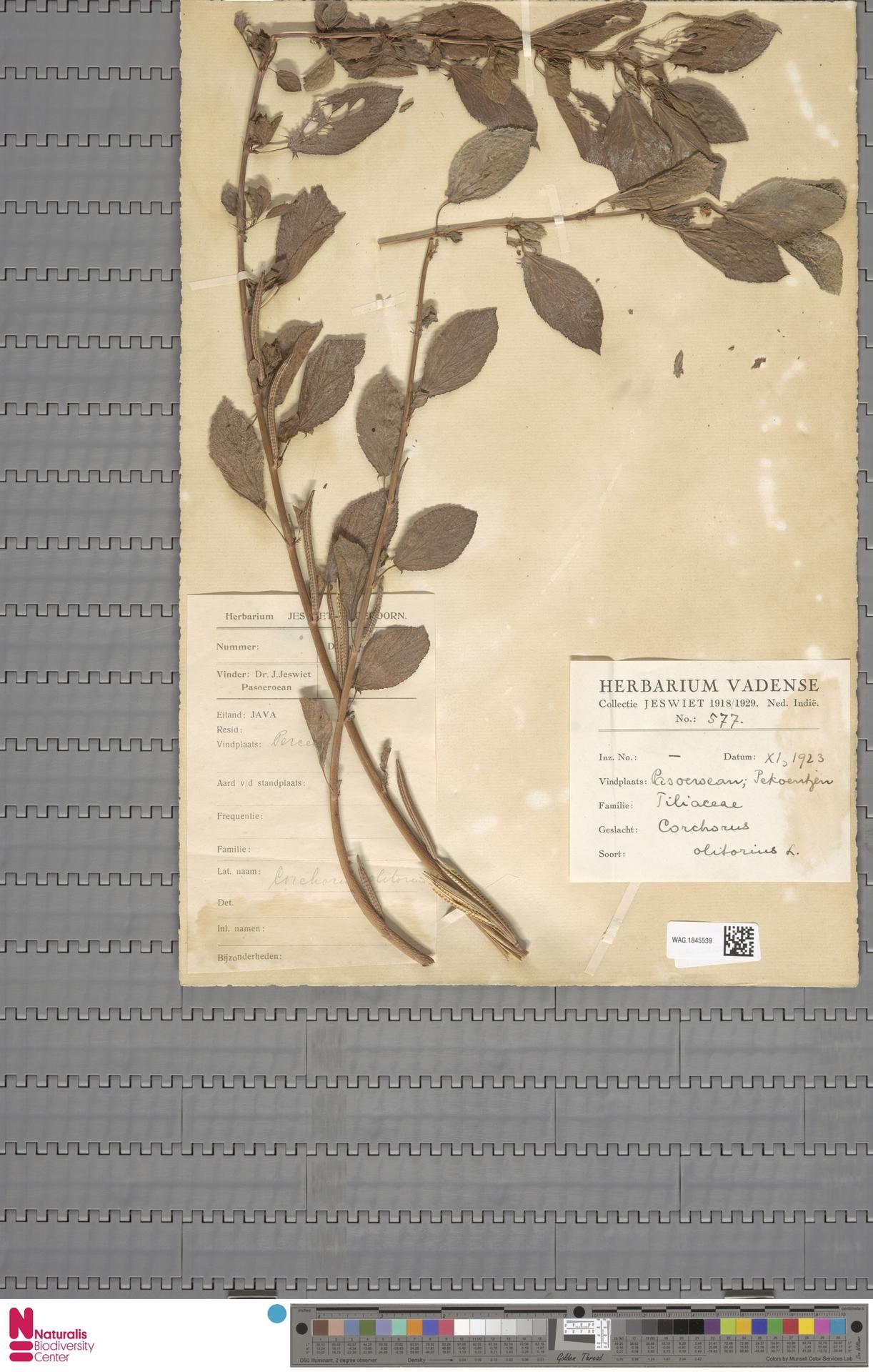 WAG.1845539   Corchorus olitorius L.