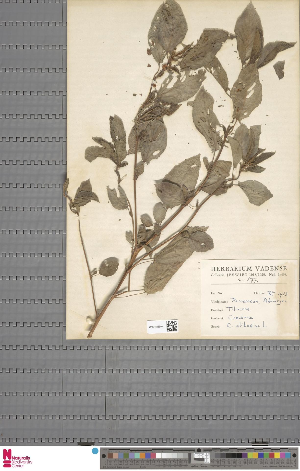 WAG.1845540 | Corchorus olitorius L.
