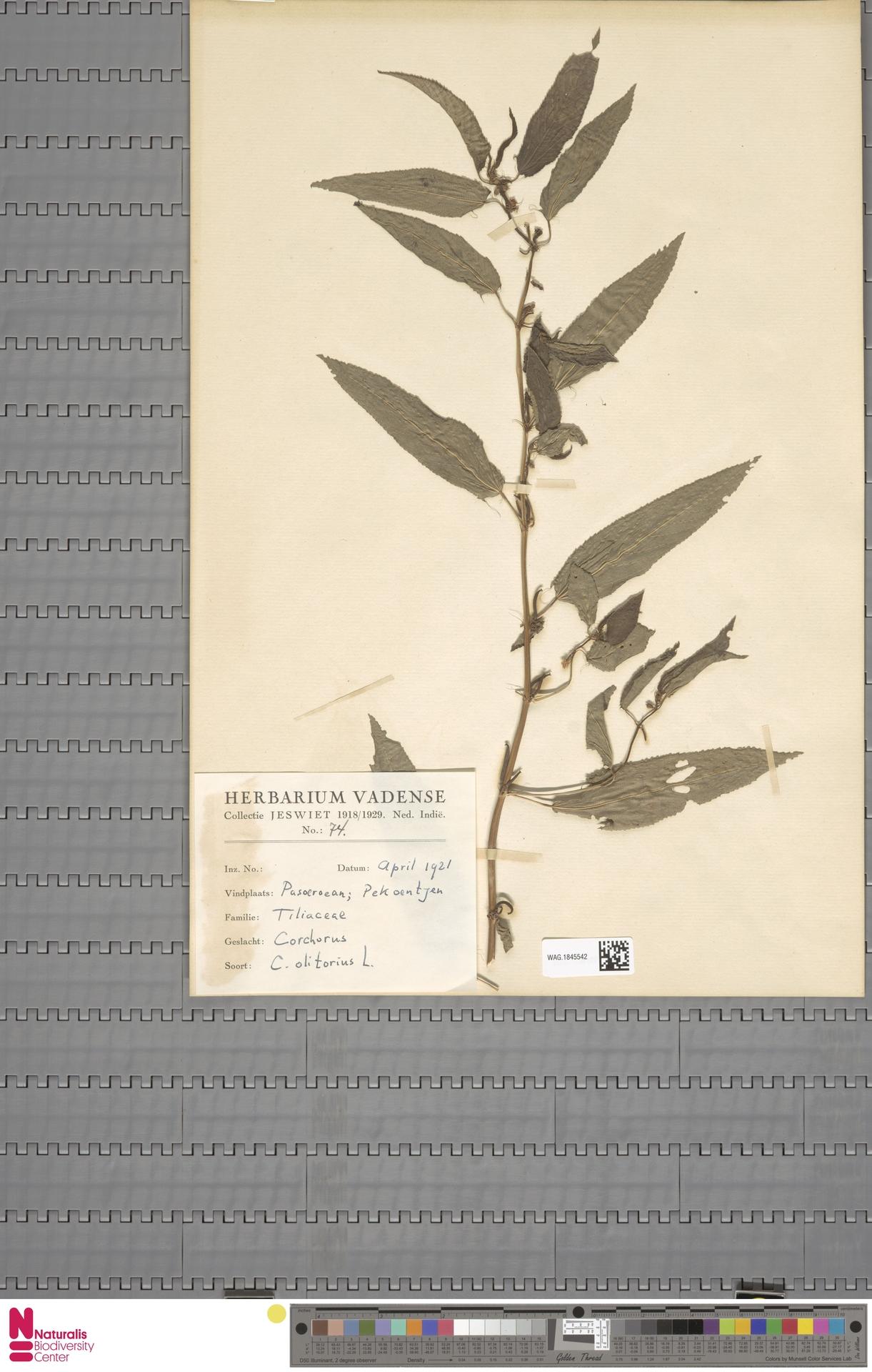 WAG.1845542 | Corchorus olitorius L.
