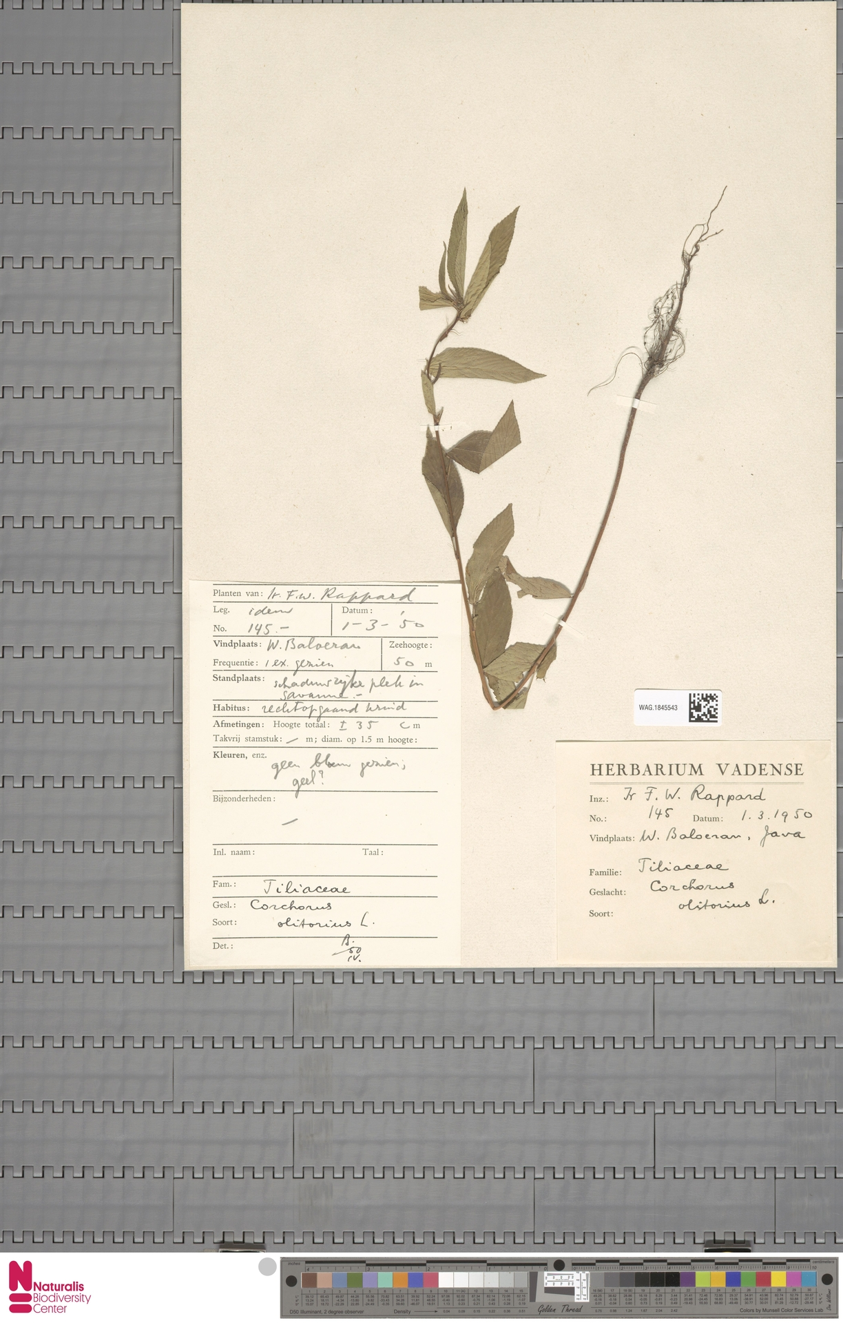 WAG.1845543 | Corchorus olitorius L.