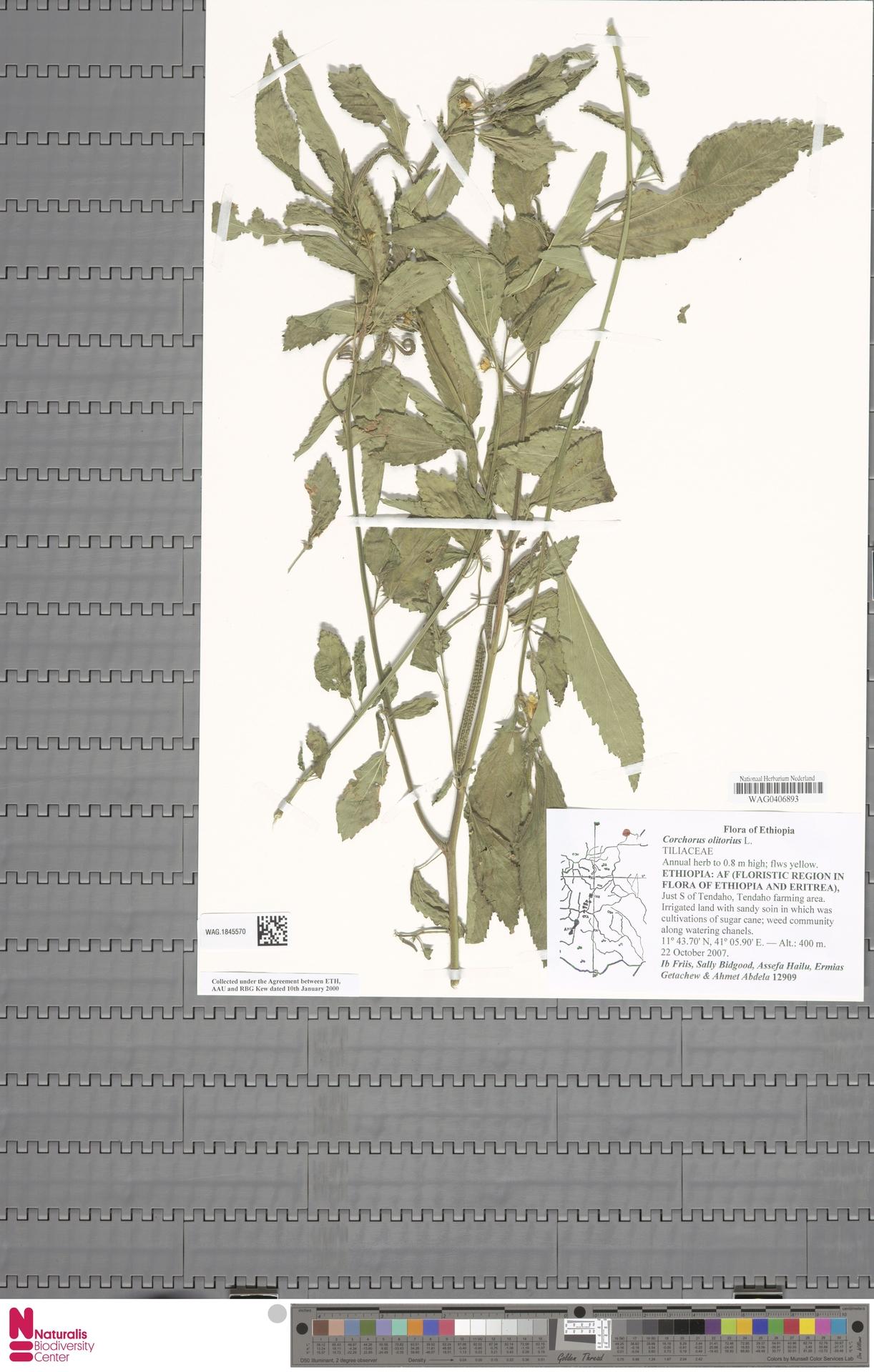 WAG.1845570 | Corchorus olitorius L.