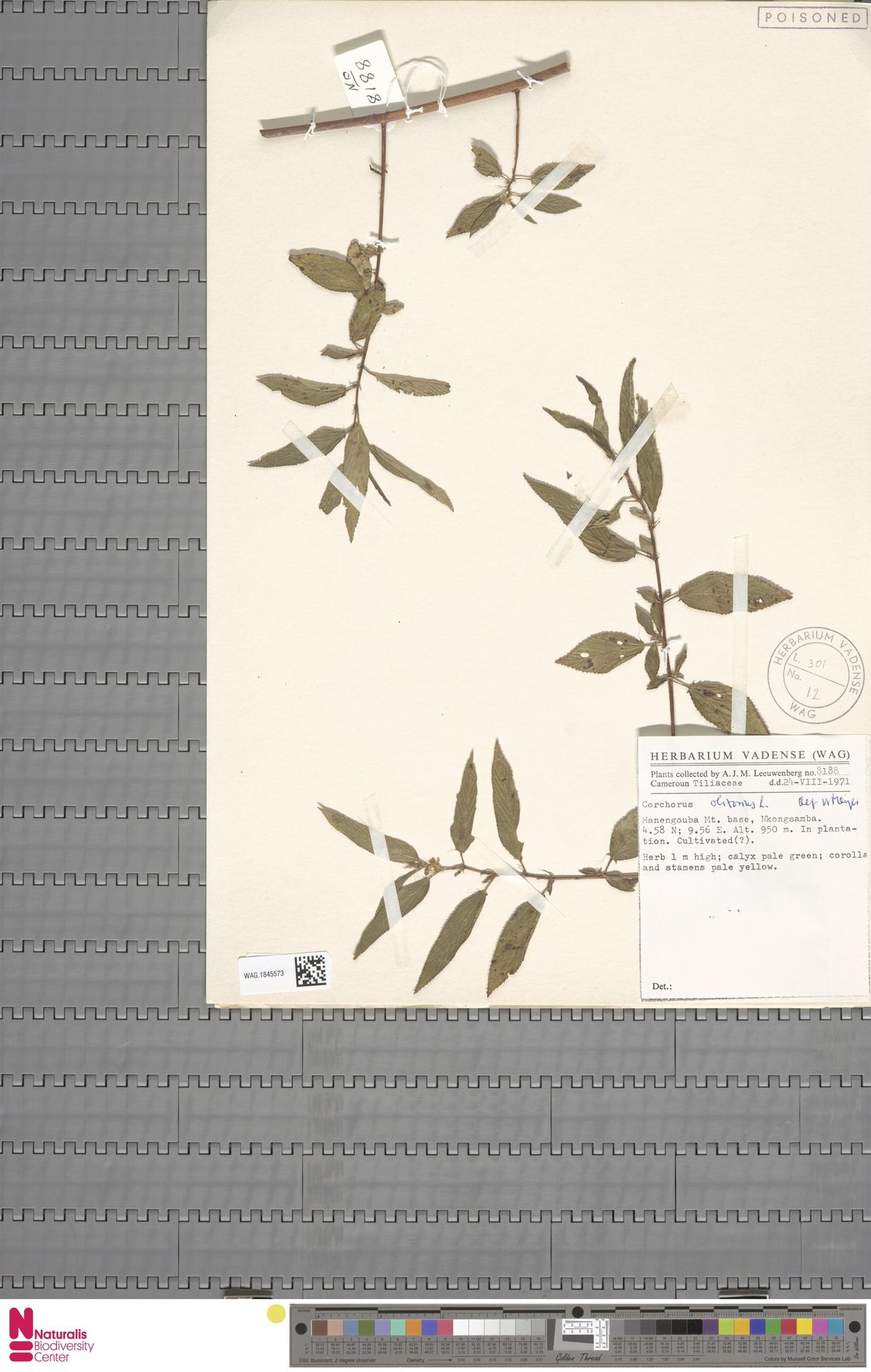 WAG.1845573 | Corchorus olitorius L.