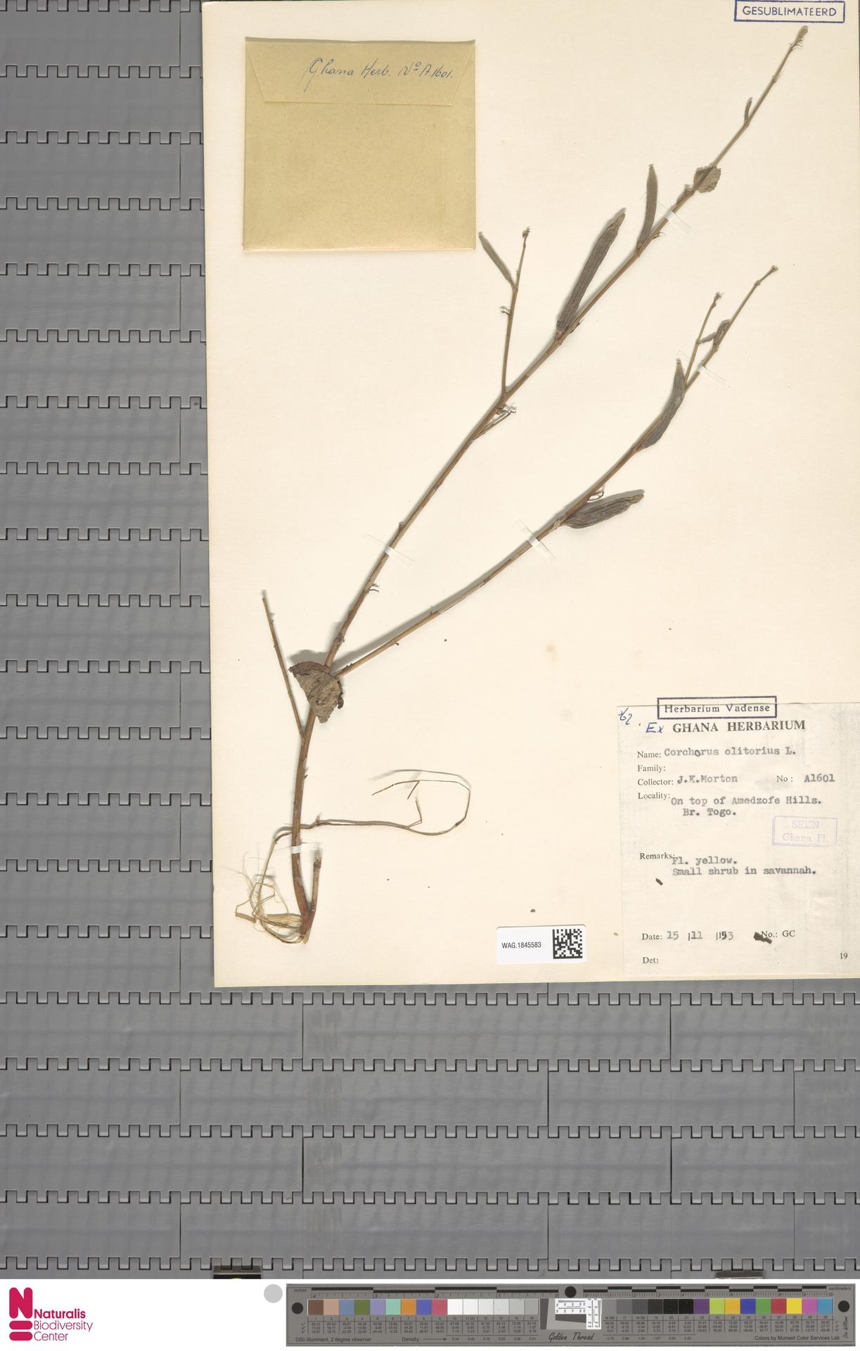 WAG.1845583   Corchorus olitorius L.
