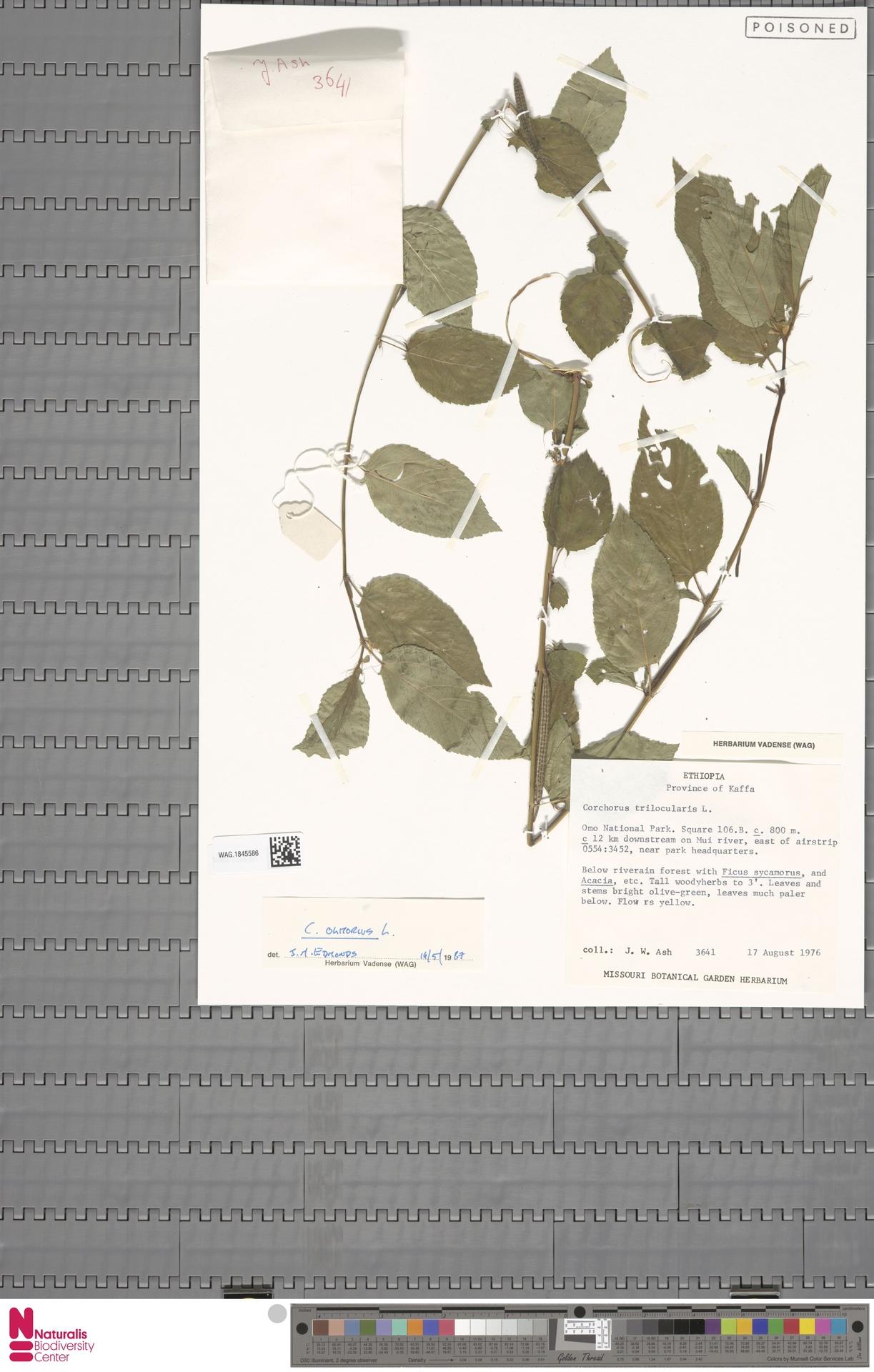 WAG.1845586 | Corchorus olitorius L.