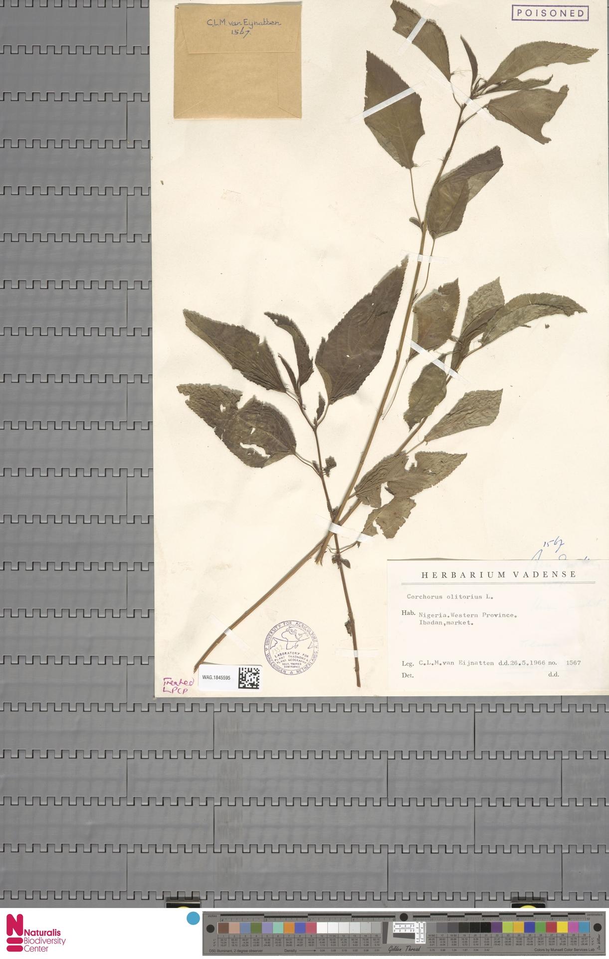 WAG.1845595 | Corchorus olitorius L.