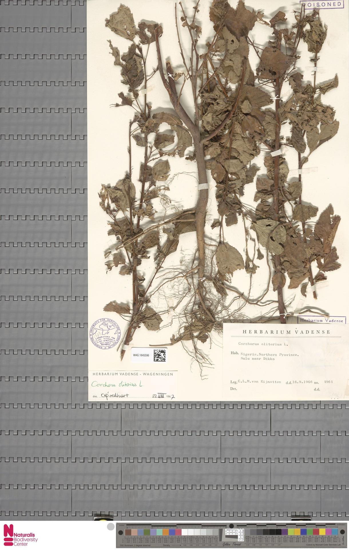 WAG.1845596 | Corchorus olitorius L.
