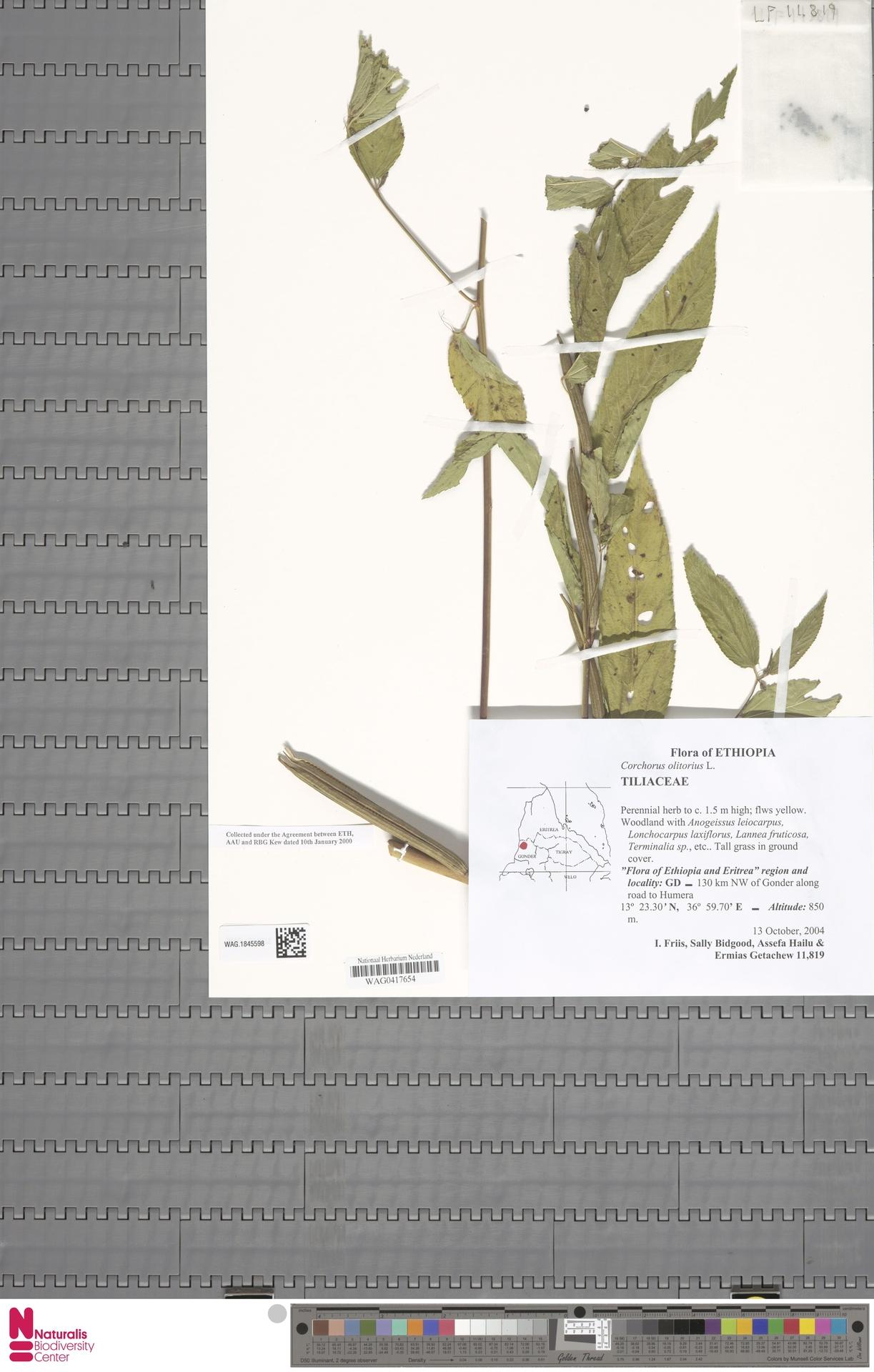 WAG.1845598 | Corchorus olitorius L.