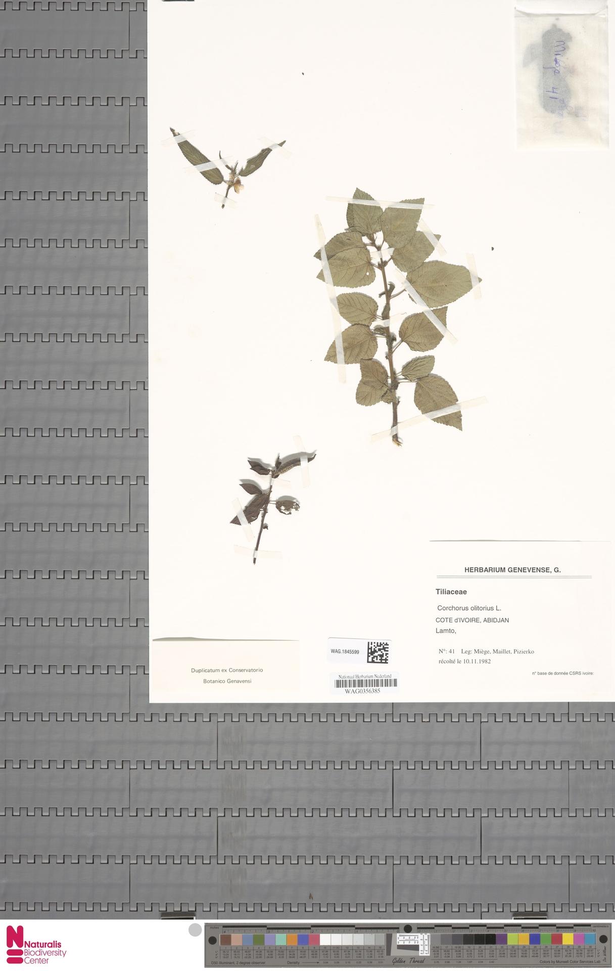 WAG.1845599 | Corchorus olitorius L.