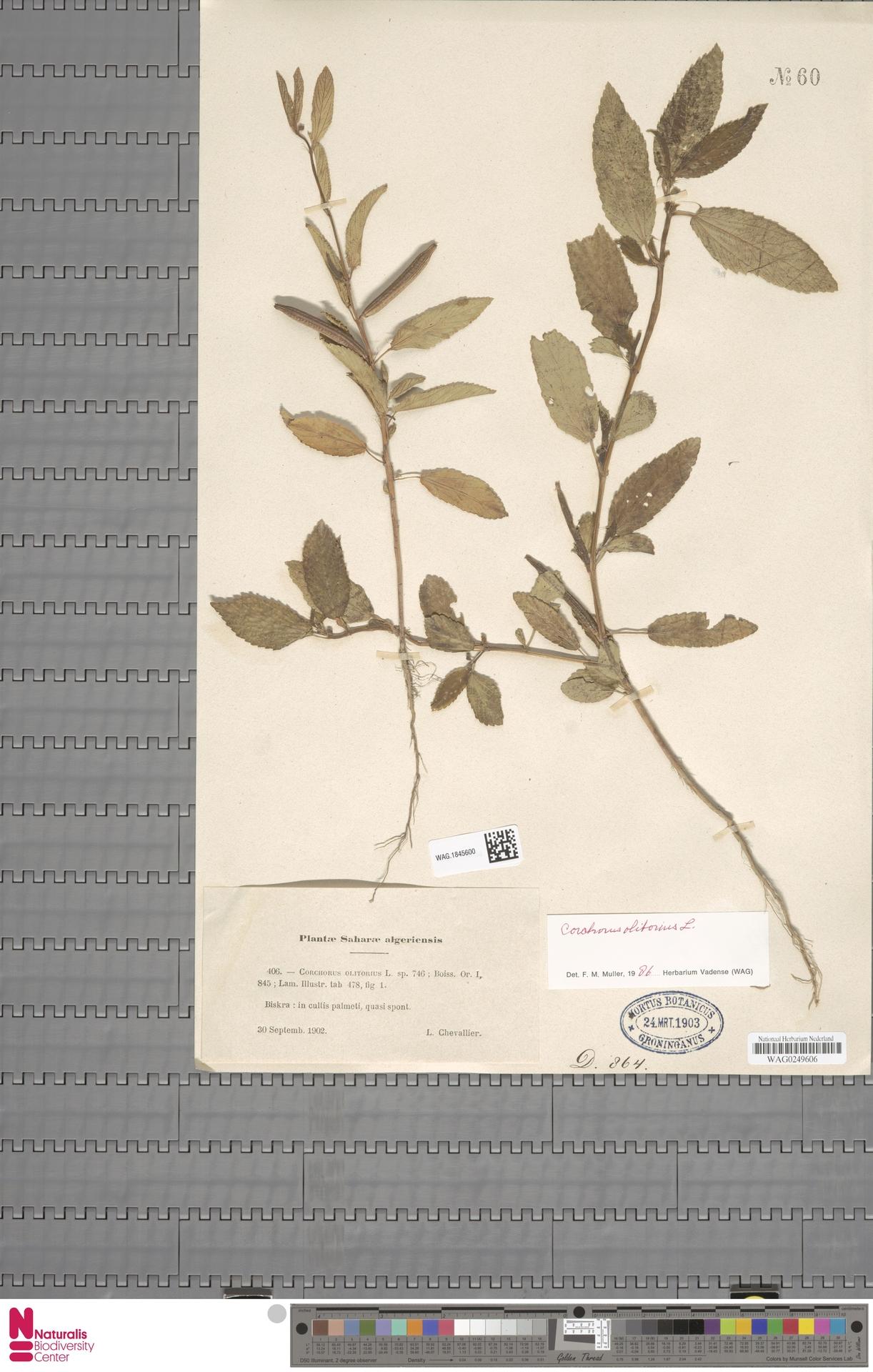 WAG.1845600   Corchorus olitorius L.