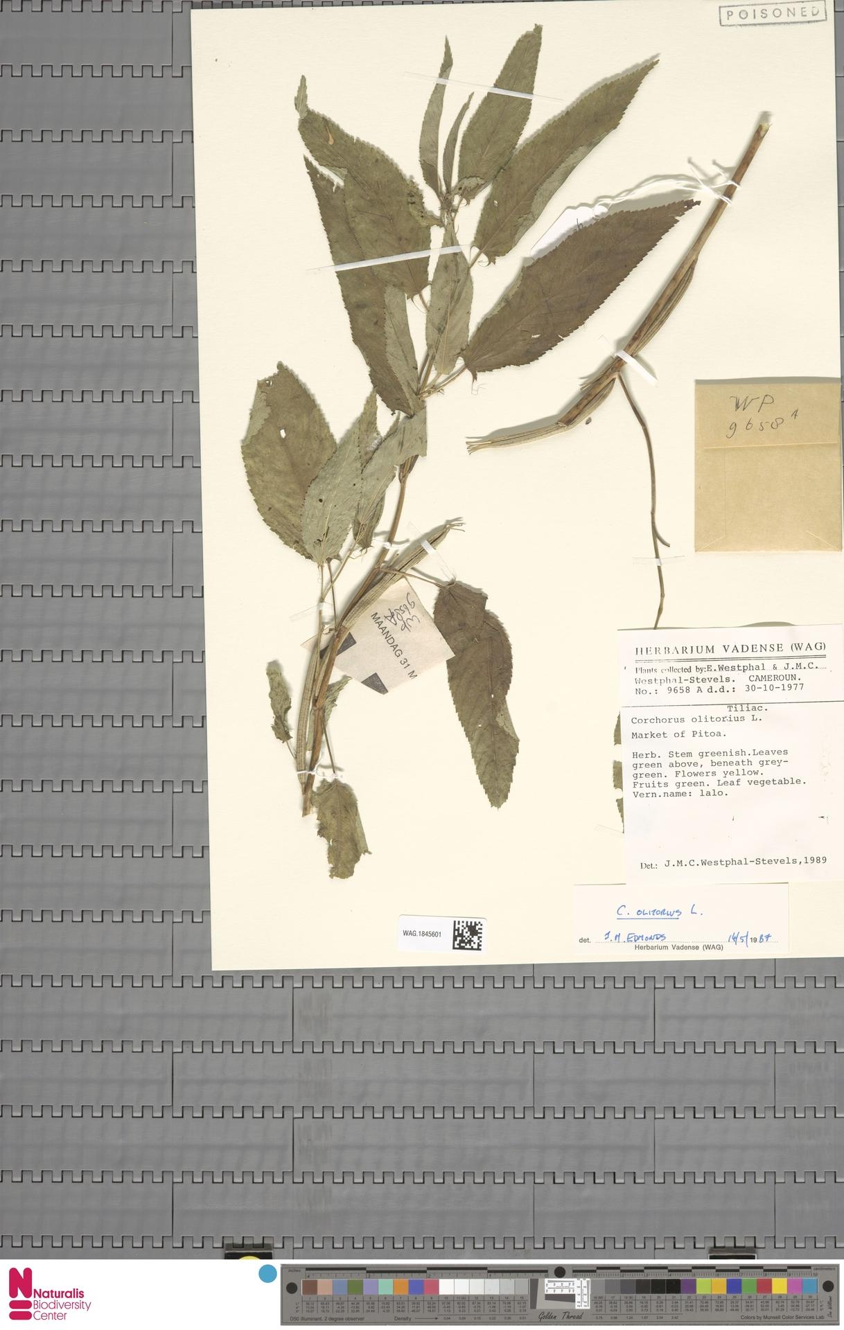WAG.1845601 | Corchorus olitorius L.