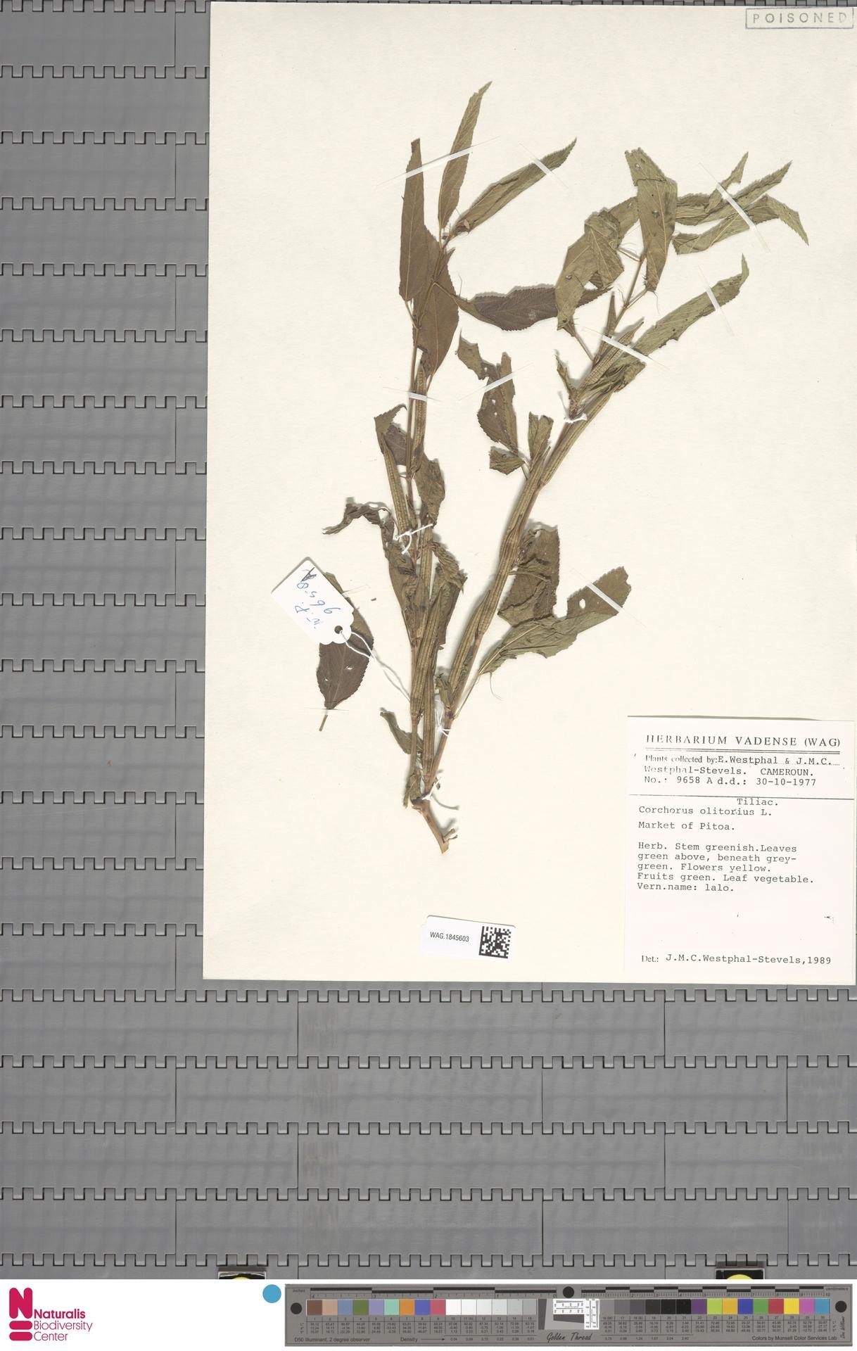 WAG.1845603 | Corchorus olitorius L.
