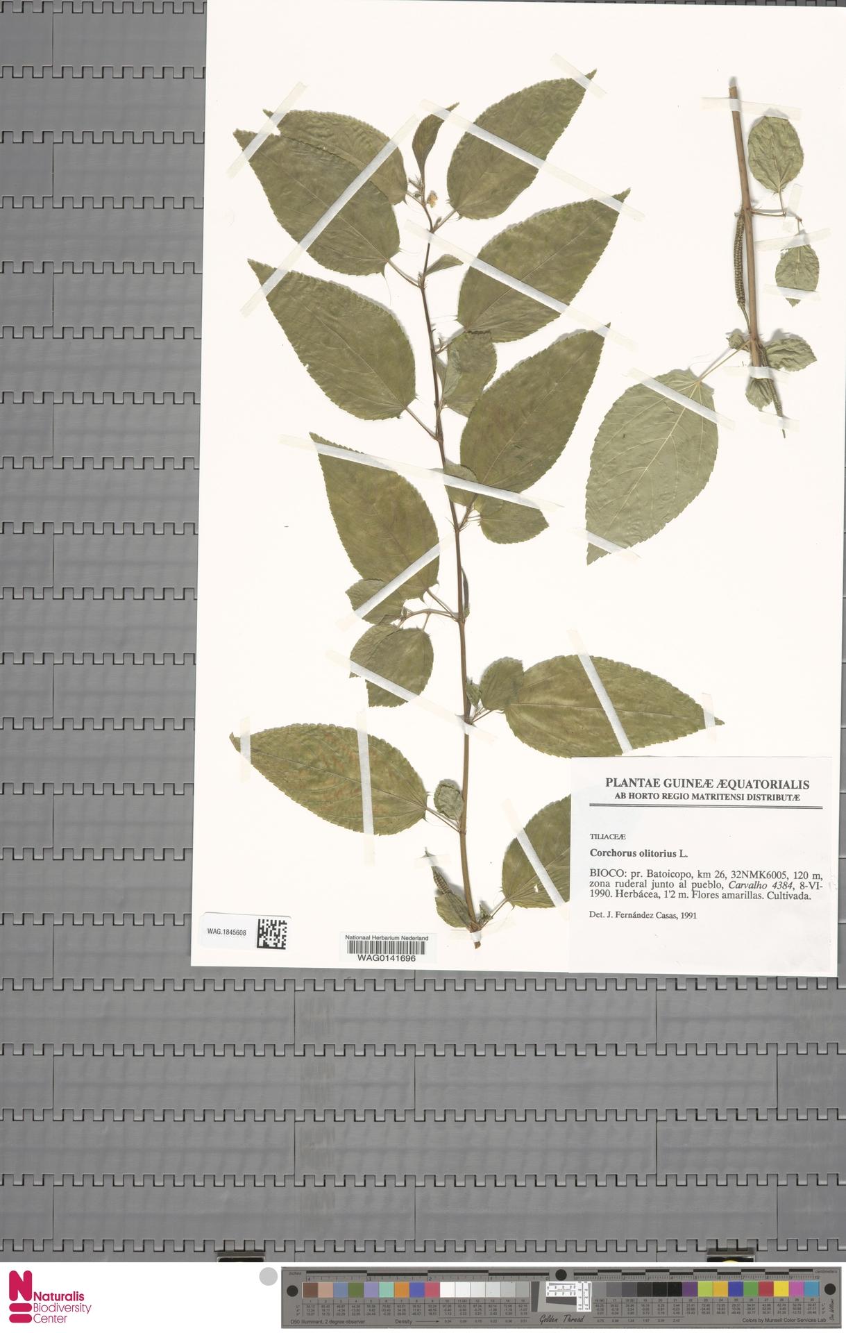 WAG.1845608 | Corchorus olitorius L.