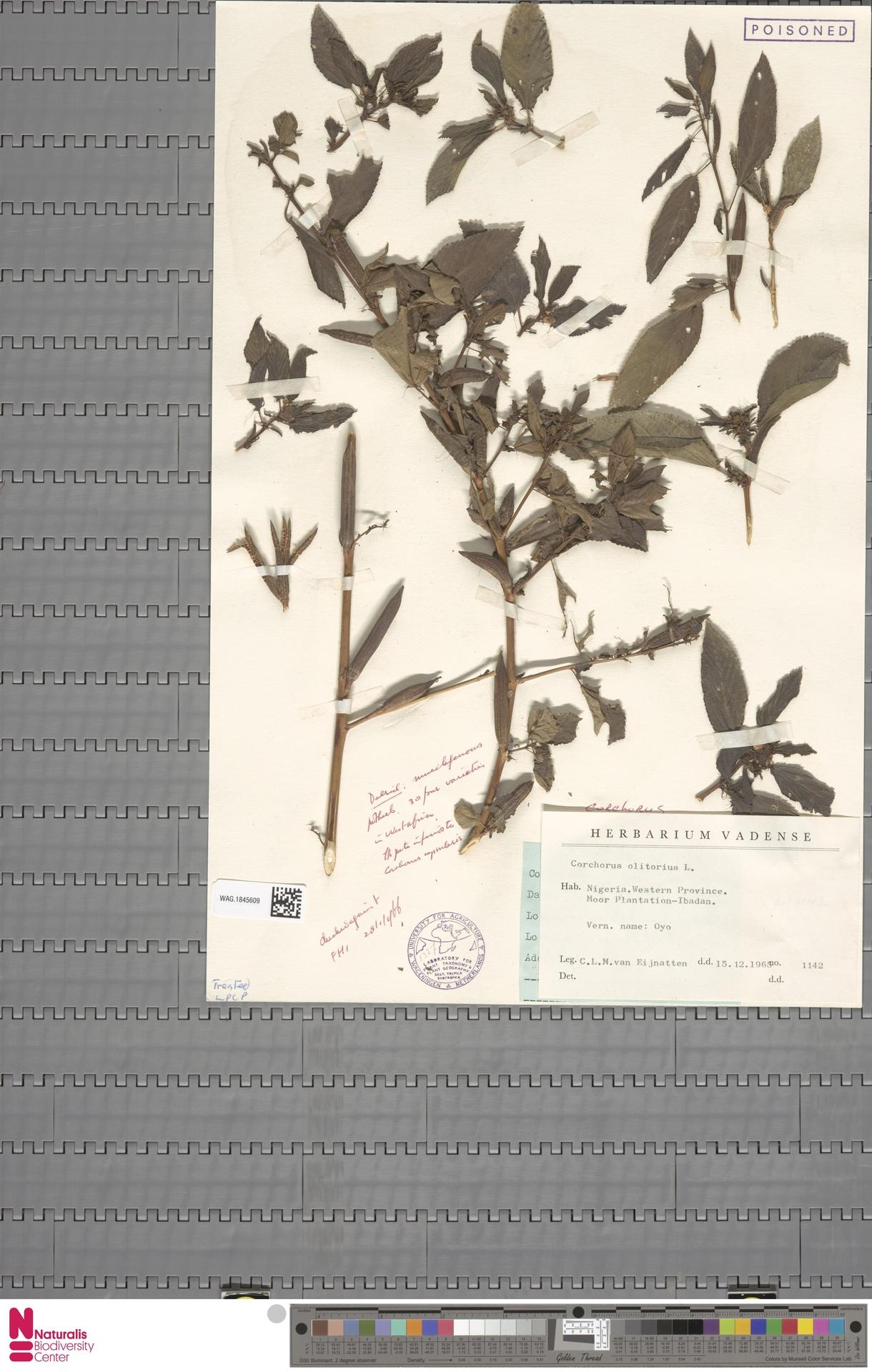 WAG.1845609 | Corchorus olitorius L.