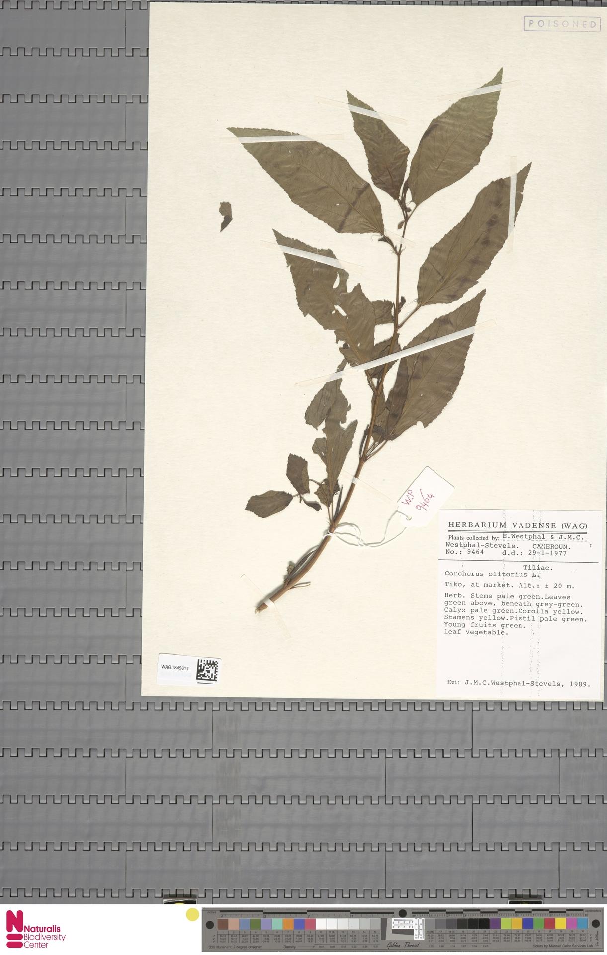 WAG.1845614 | Corchorus olitorius L.
