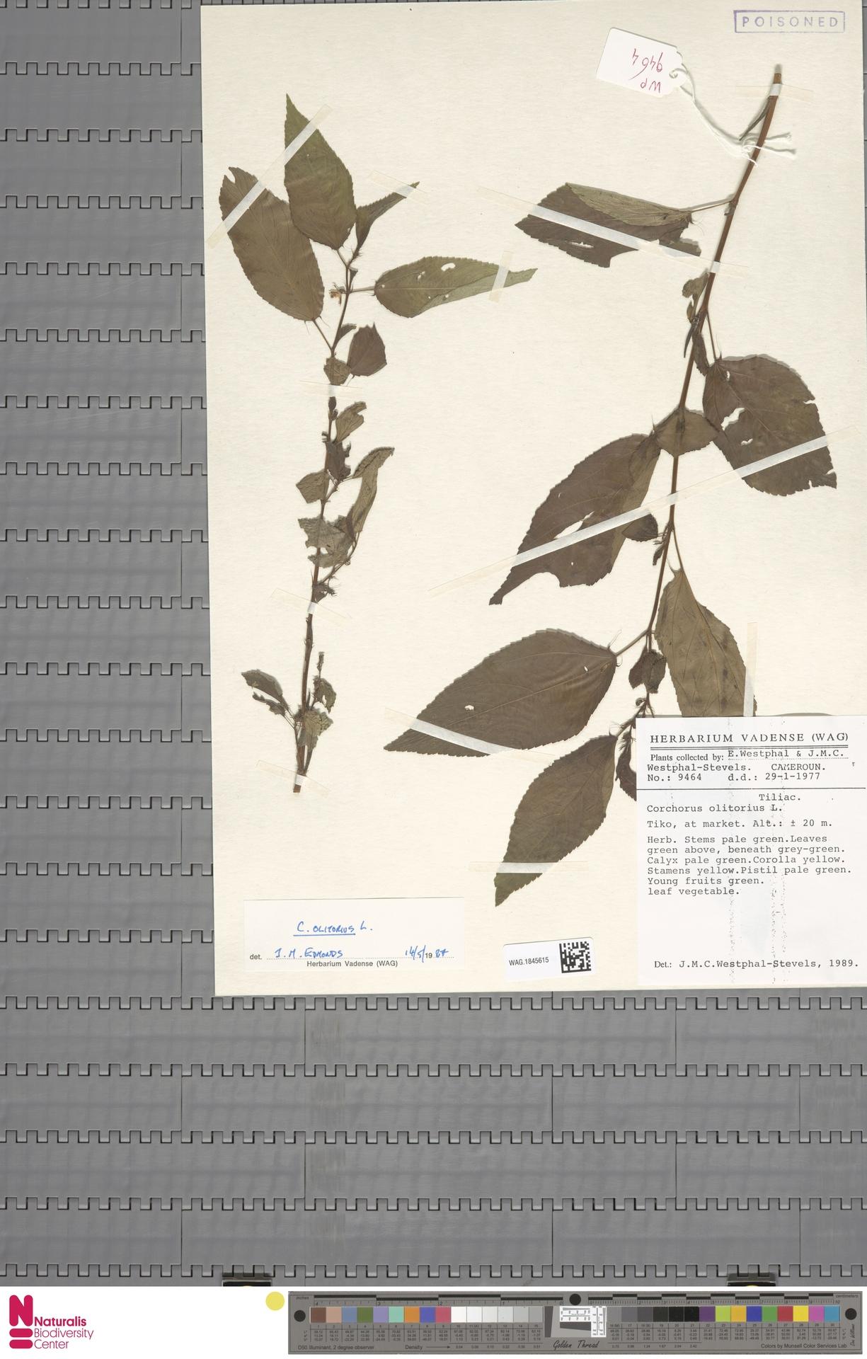 WAG.1845615 | Corchorus olitorius L.