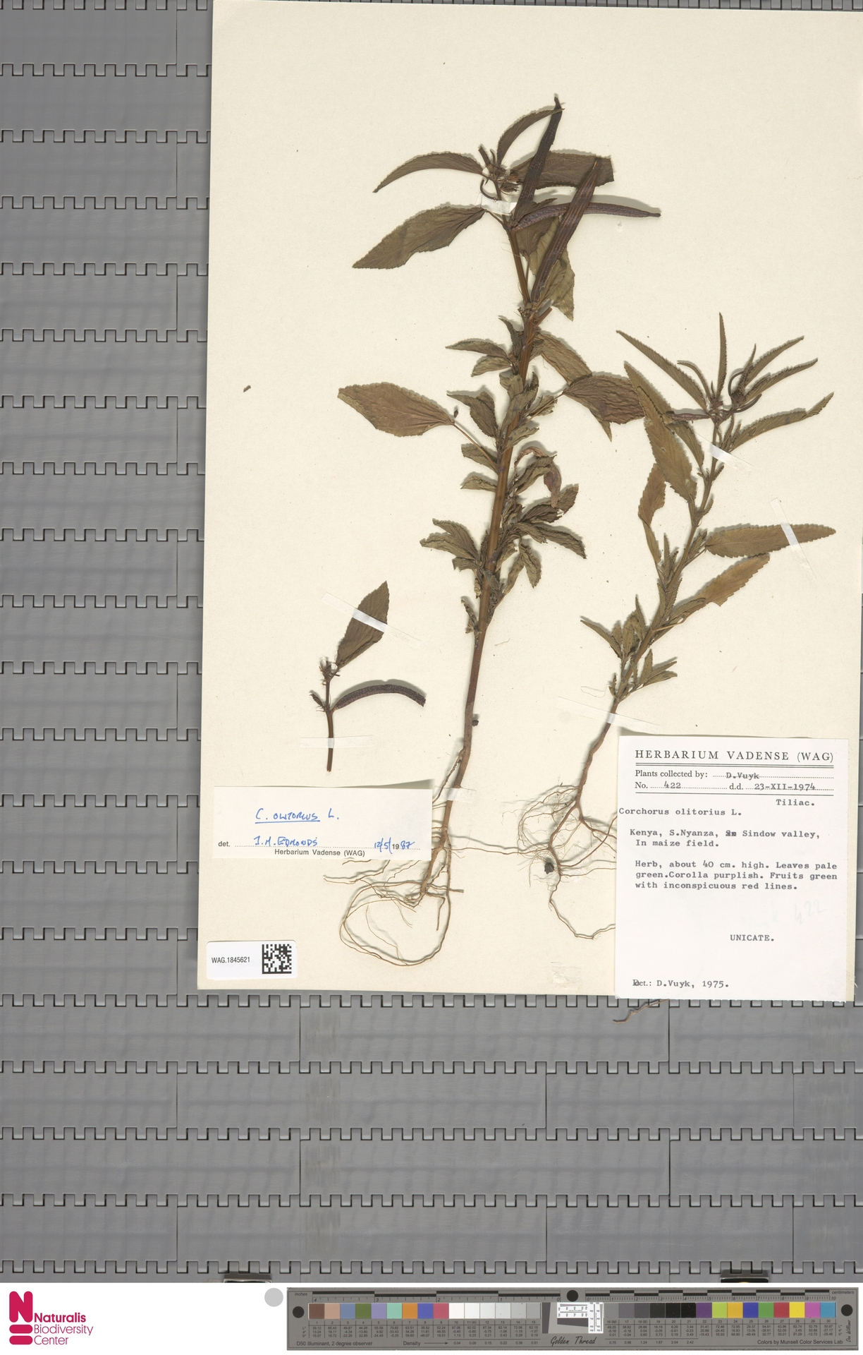 WAG.1845621 | Corchorus olitorius L.