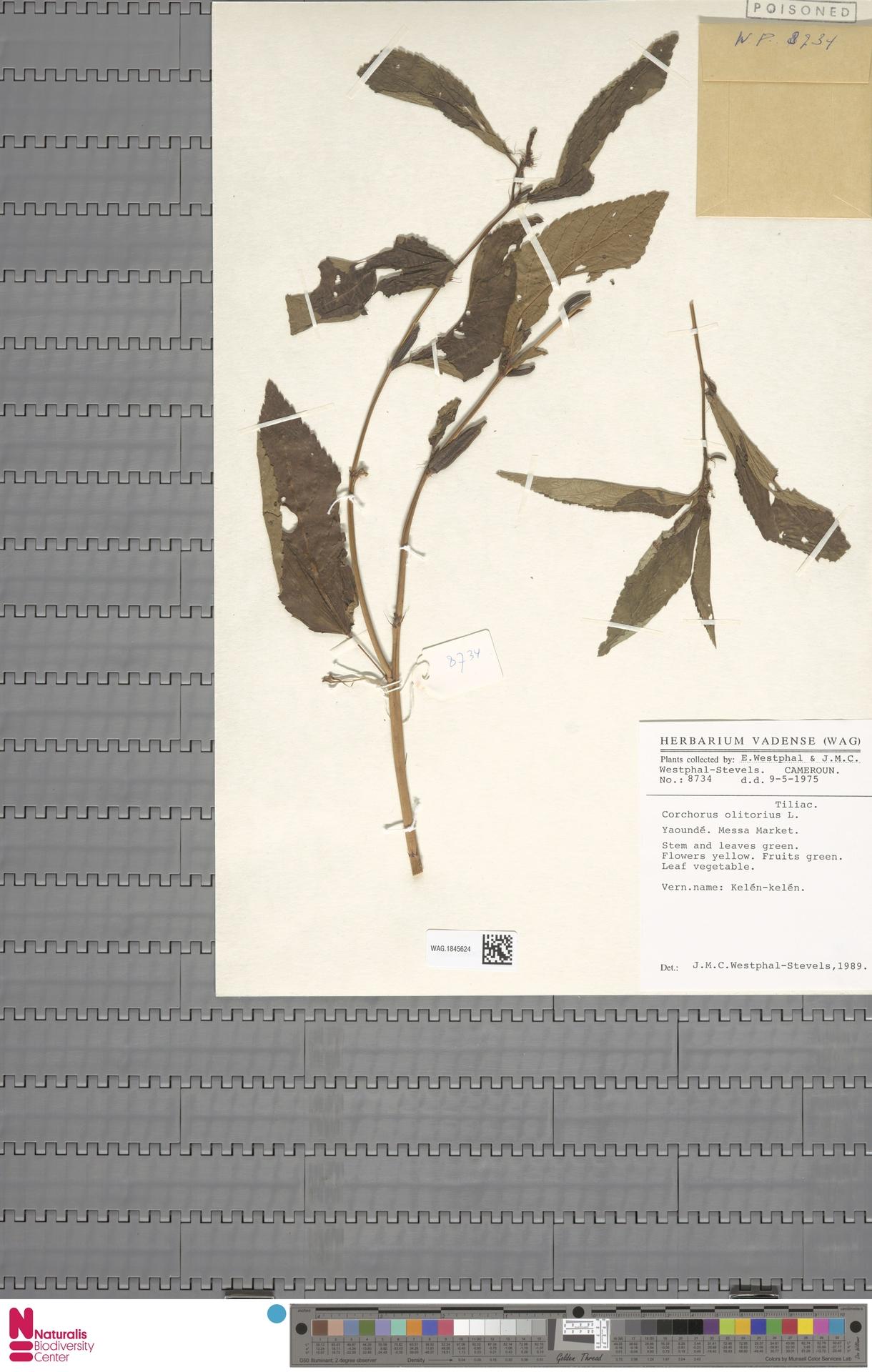 WAG.1845624 | Corchorus olitorius L.