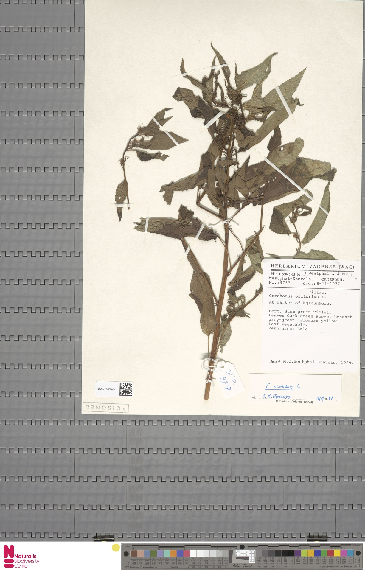 WAG.1845625 | Corchorus olitorius L.