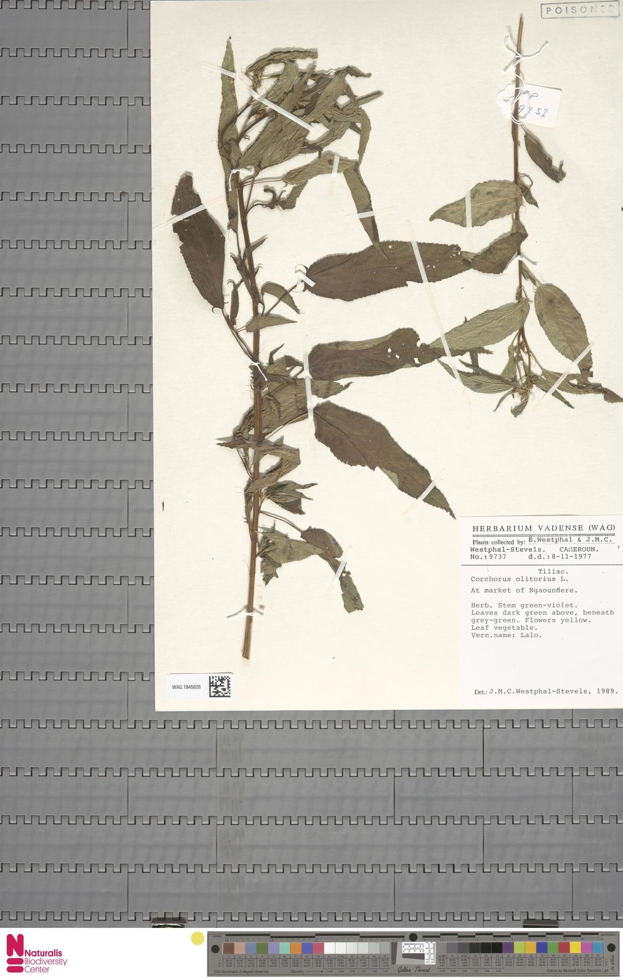 WAG.1845626 | Corchorus olitorius L.