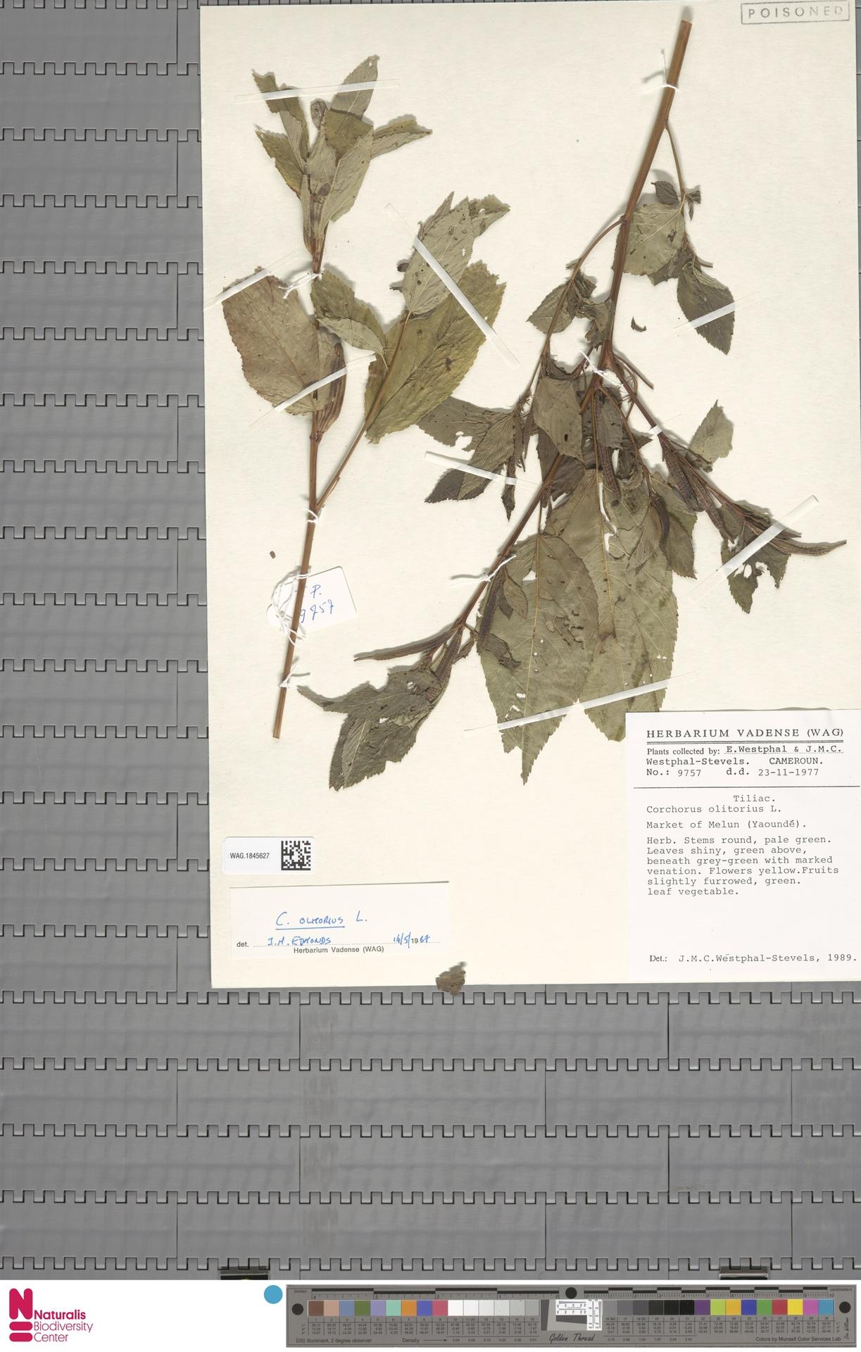 WAG.1845627 | Corchorus olitorius L.