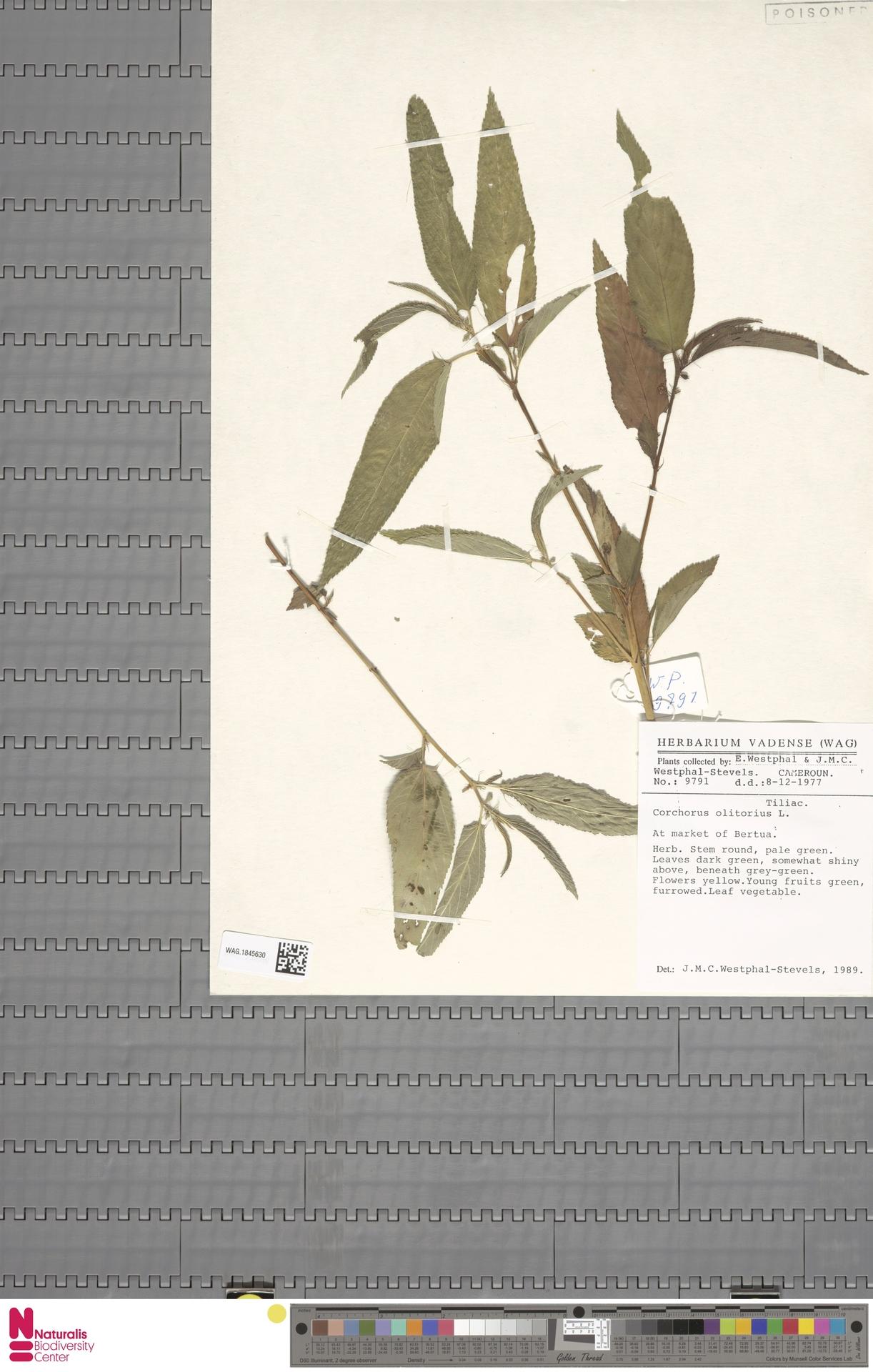 WAG.1845630 | Corchorus olitorius L.