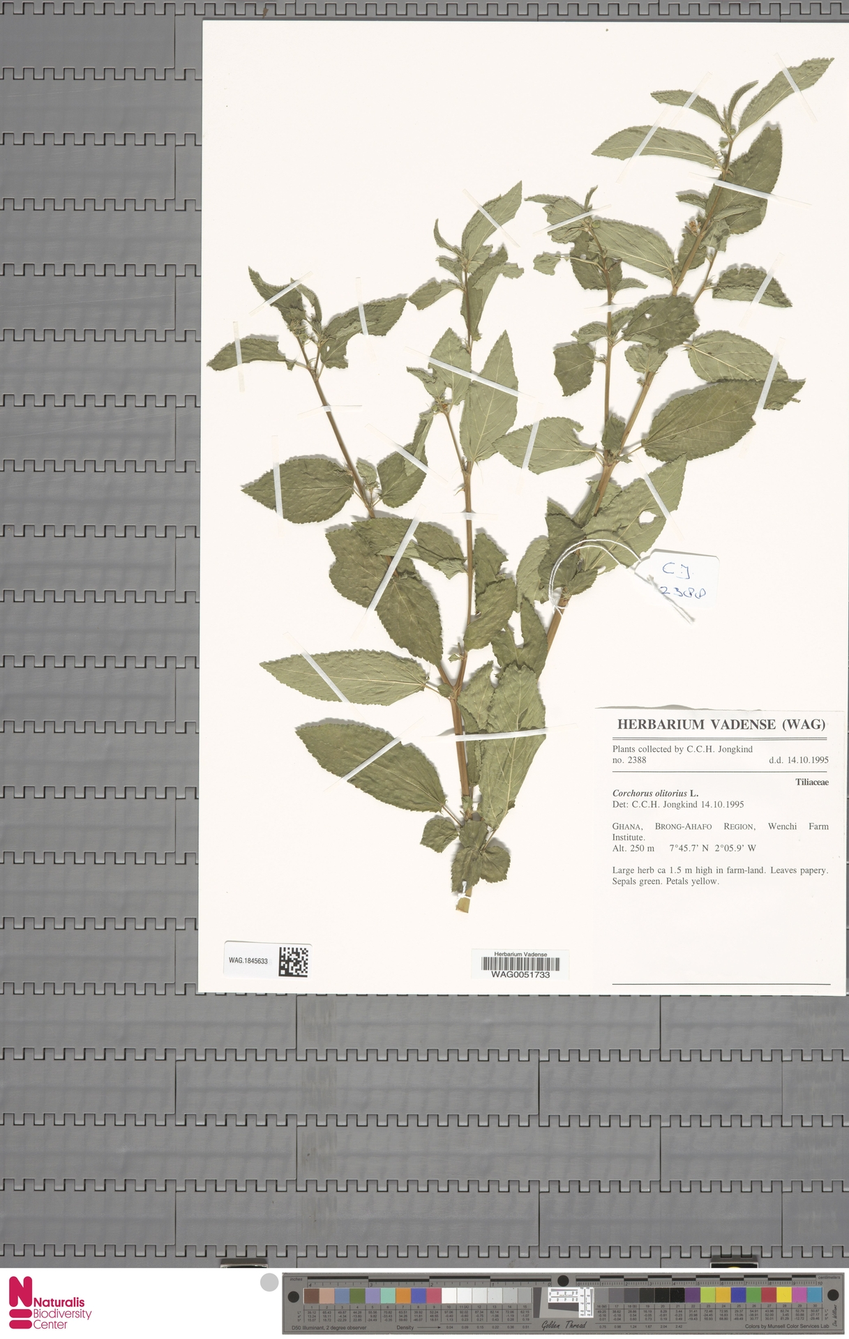 WAG.1845633 | Corchorus olitorius L.