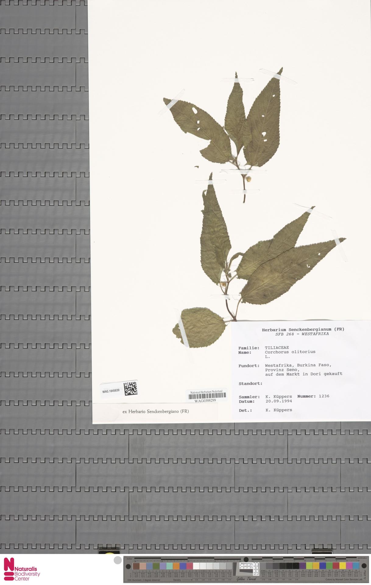 WAG.1845639   Corchorus olitorius L.